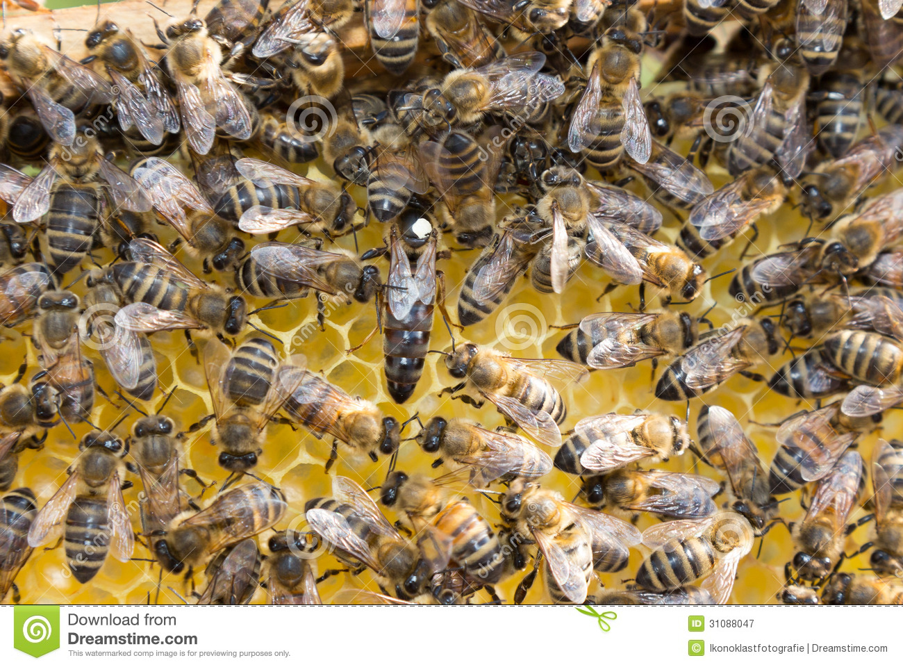Queen Bee In Bee Hive Laying Eggs Royalty Free Stock Photography - Image: 31088047