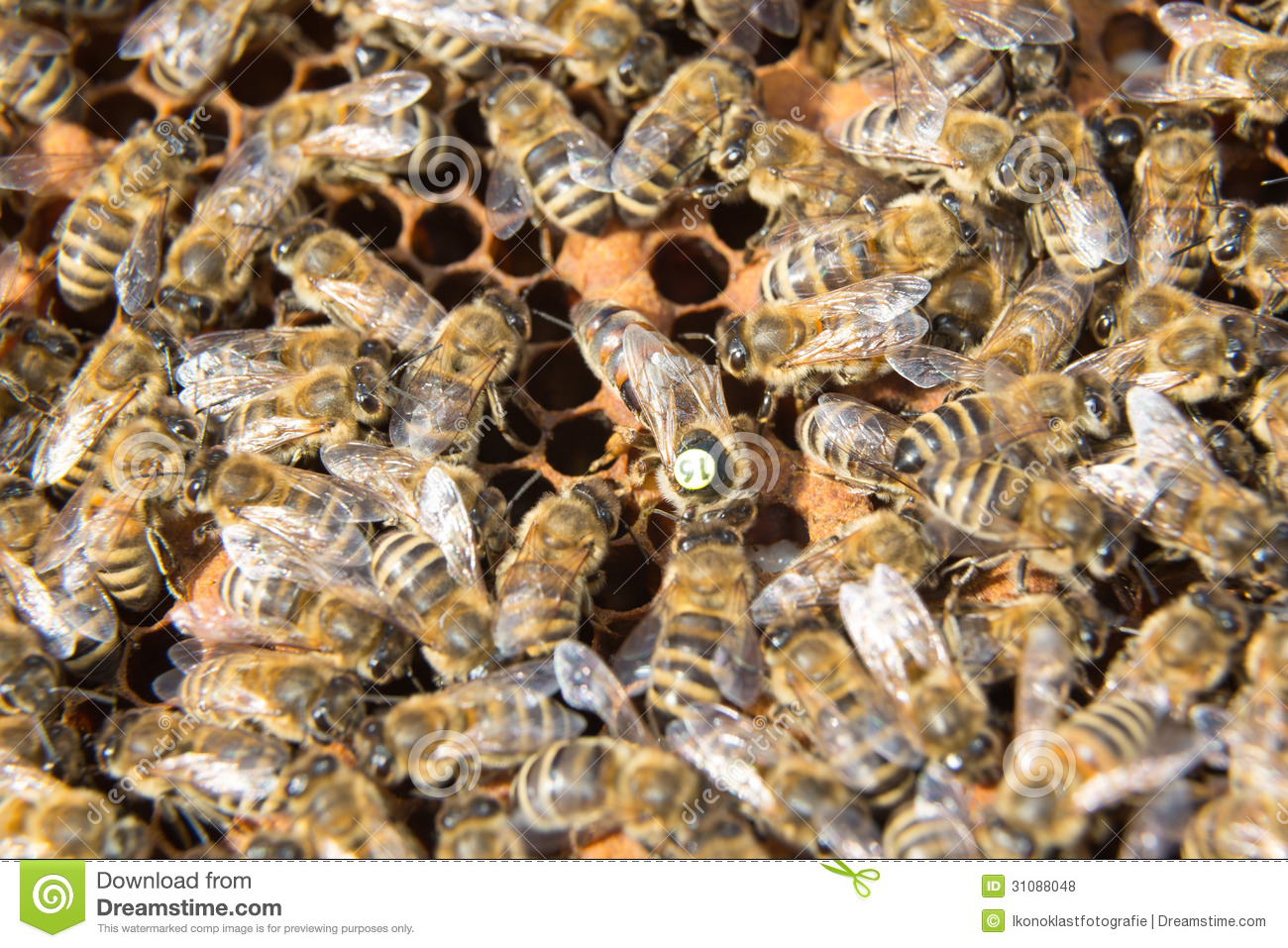 queen bee laying eggs - photo #38