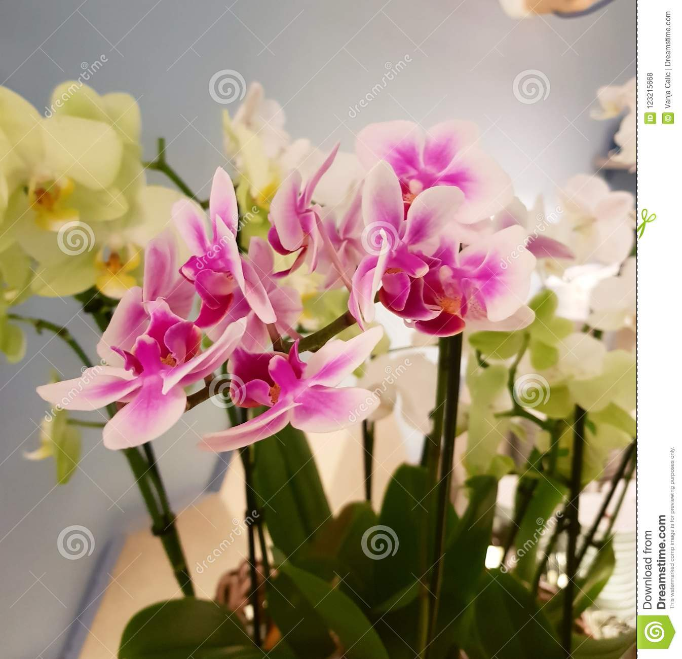 Queen Of Flowers Orchid Stock Photo Image Of Beautiful 123215668
