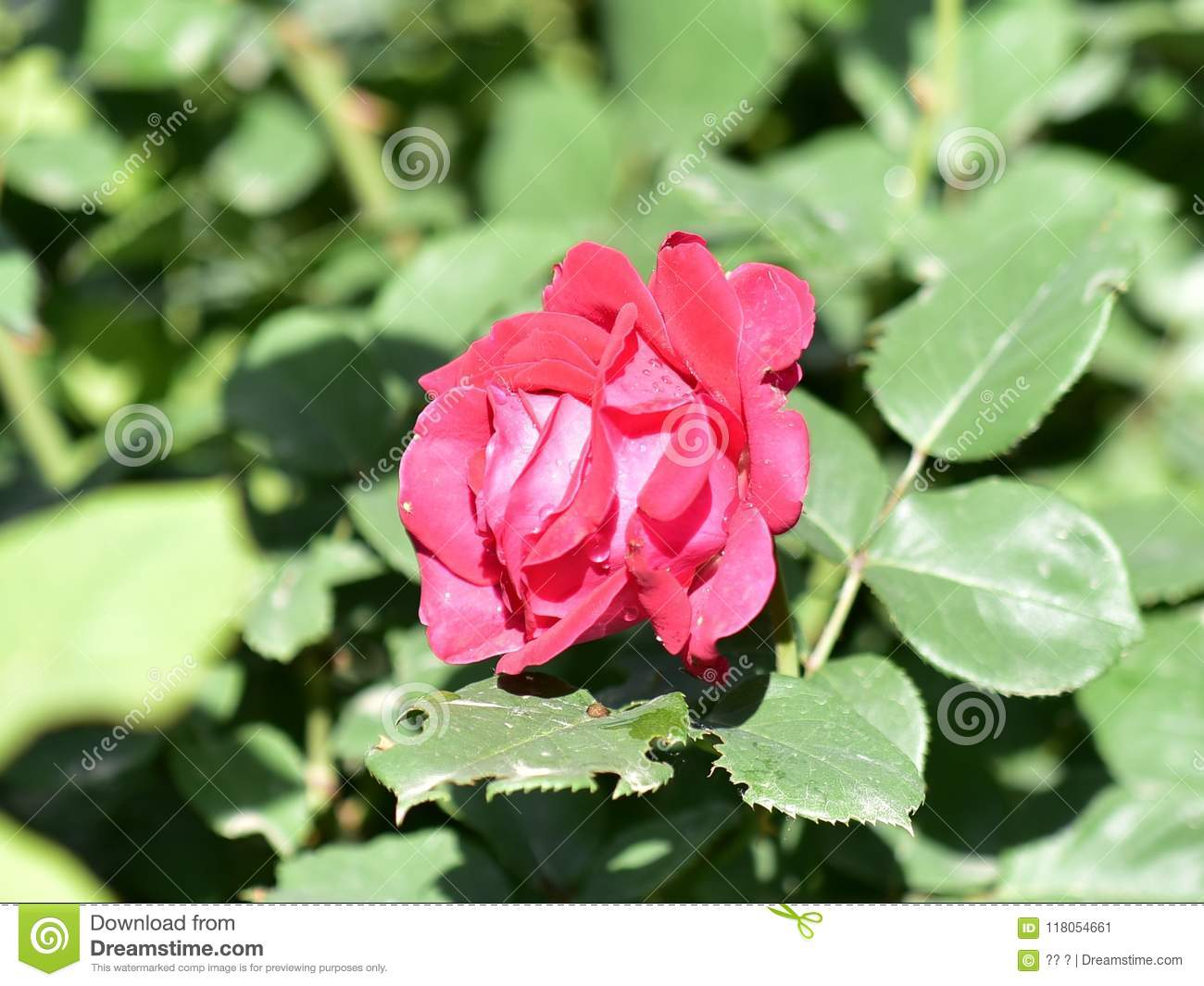 Queen of flowers rose flower stock image image of white evergreen semi evergreen low shrubs four seasons flowering usually red or pink even white mightylinksfo