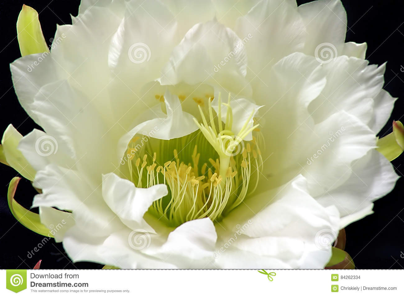 Queen of the night cactus flowers stock photo image of princess queen of the night cactus flowers mightylinksfo