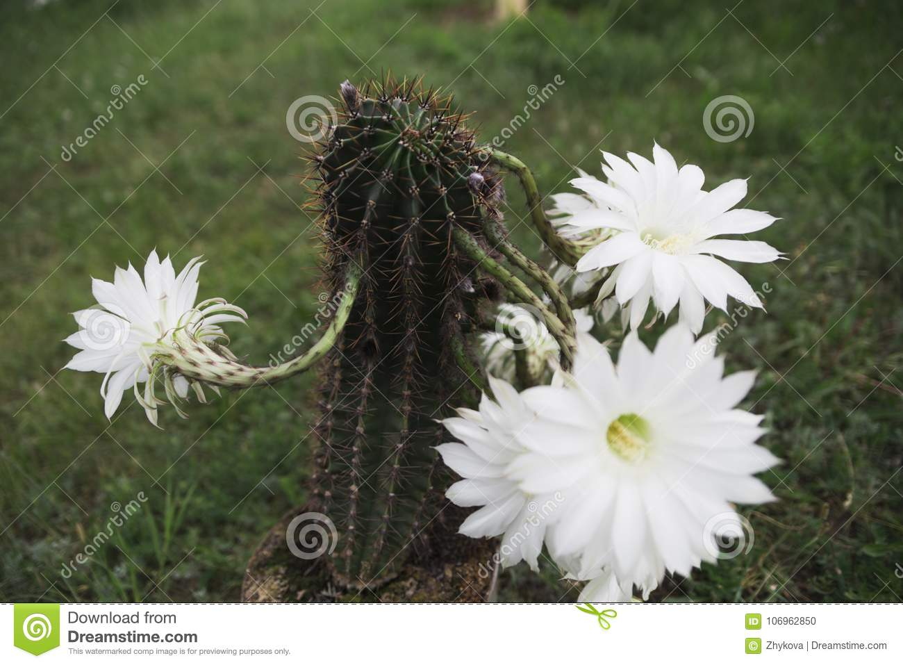 One Day Beautiful Cactus Flower Rare Stock Photo Image Of Natural