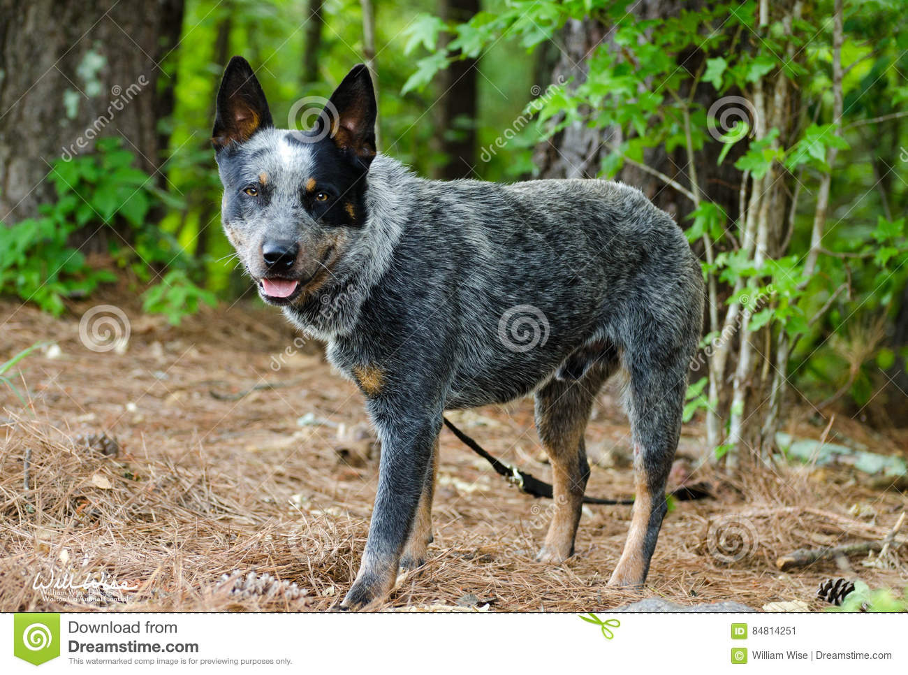 queensland heeler dog wearing a neck brace stock photo. Black Bedroom Furniture Sets. Home Design Ideas