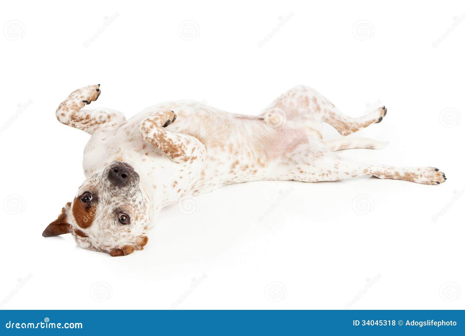 Queensland Heeler Dog Laying On Back Royalty Free Stock Photos - Image ...