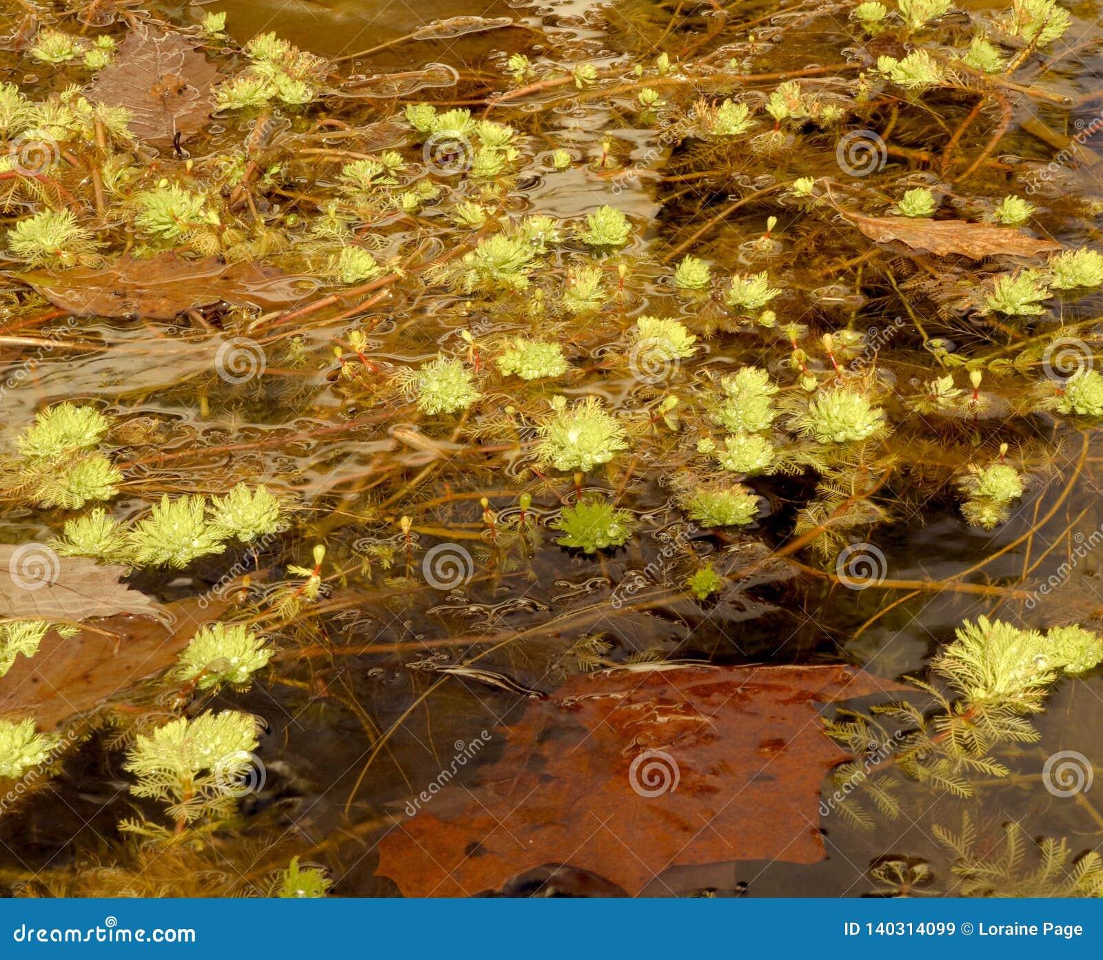 Quelle nature ressemble à dans l eau d un étang pendant l hiver