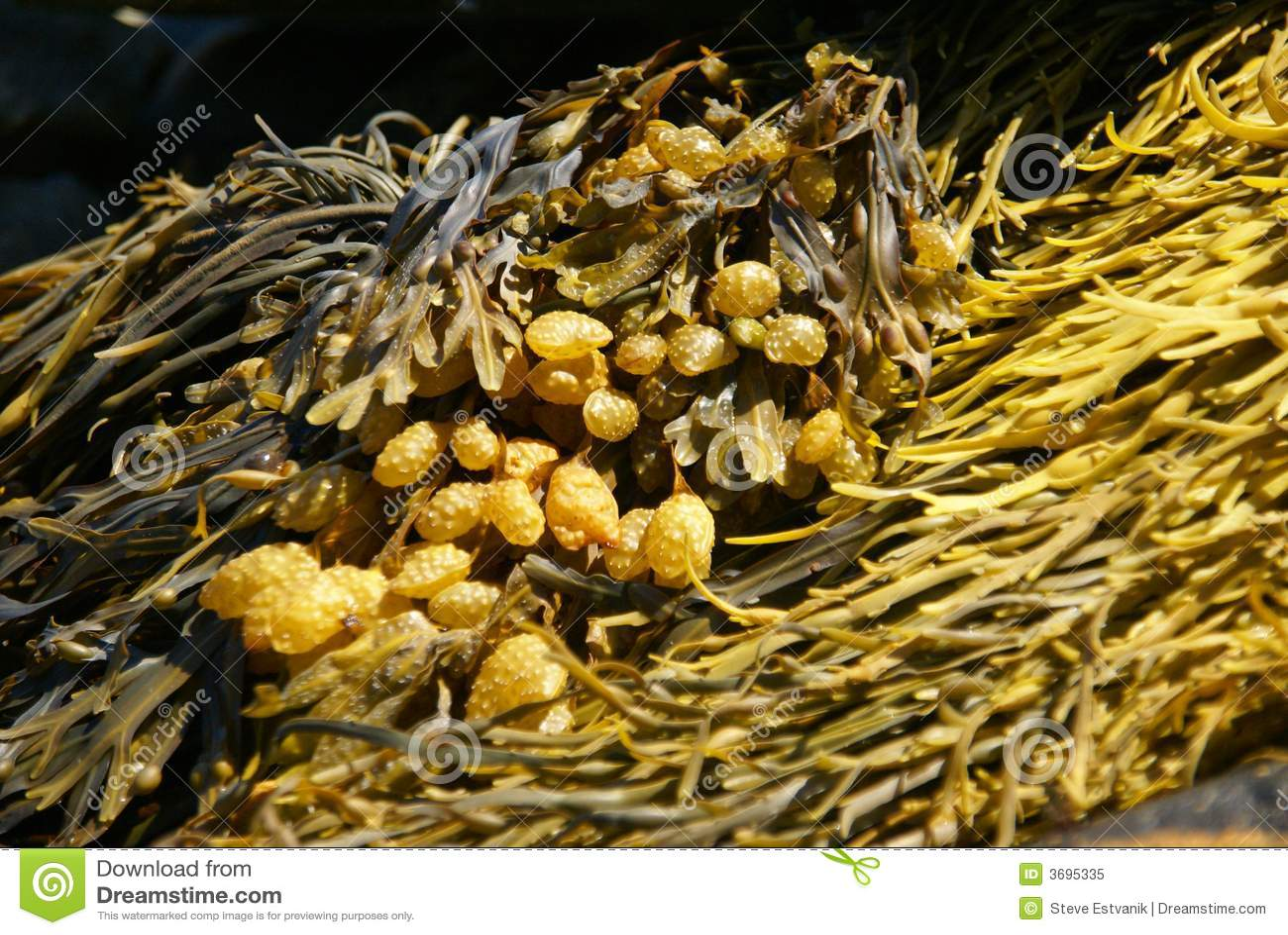 Quelpo amarillo y marrón del extracto -