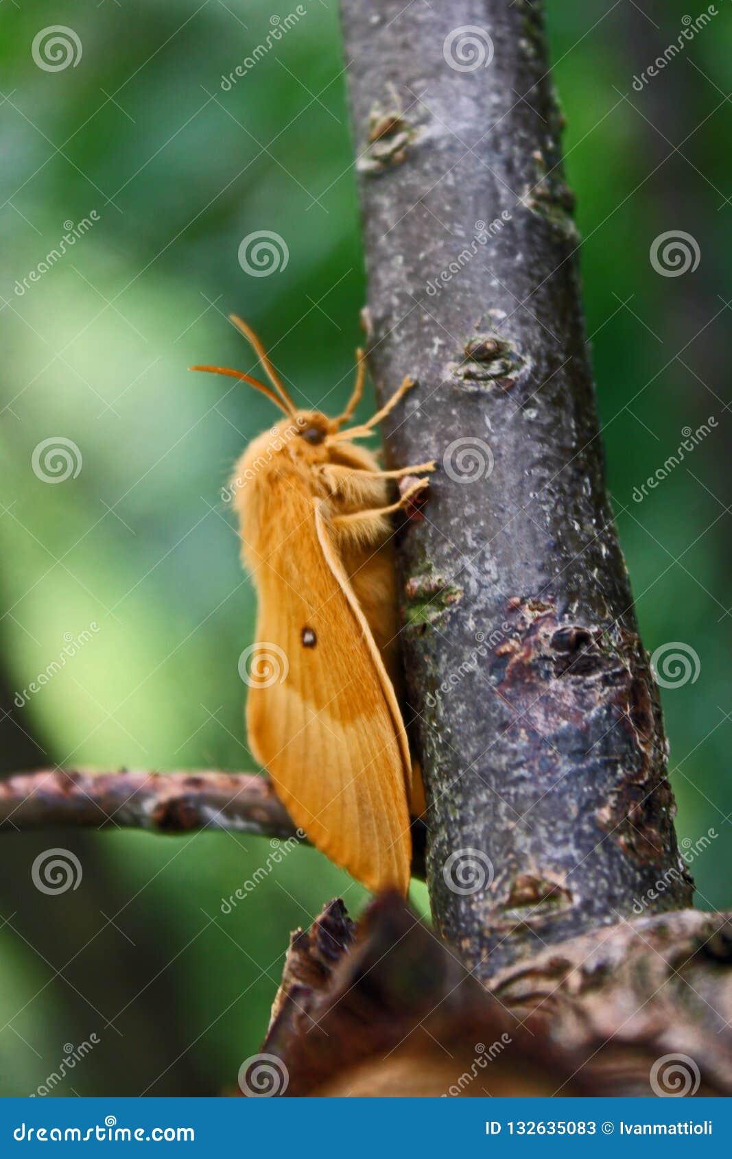 Quercus eggar do Lasiocampa do carvalho fêmea