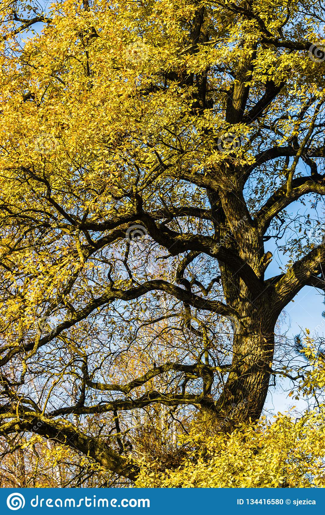 Quercus robur del roble común