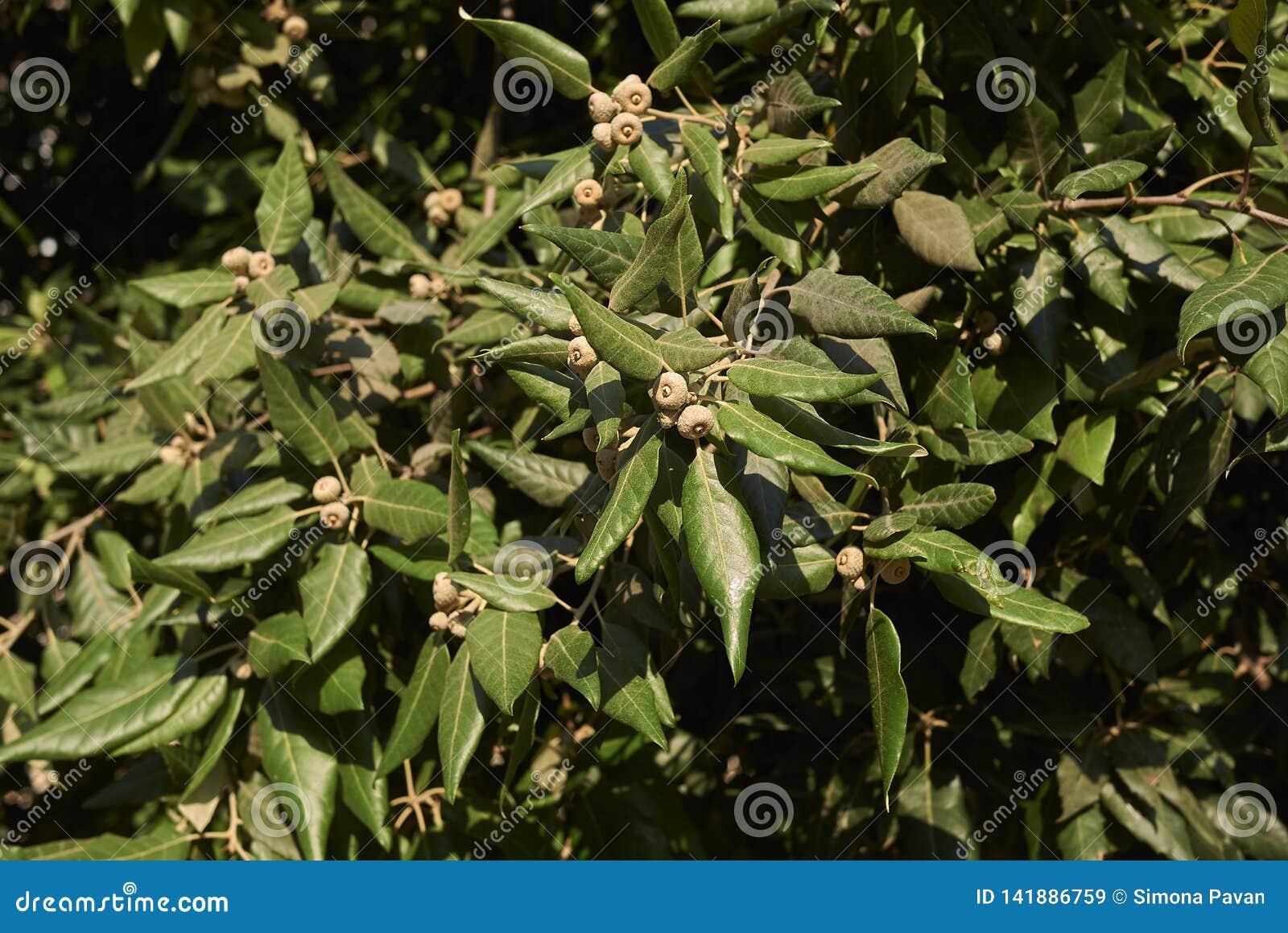 Quercusilexfilial med nya ekollonar