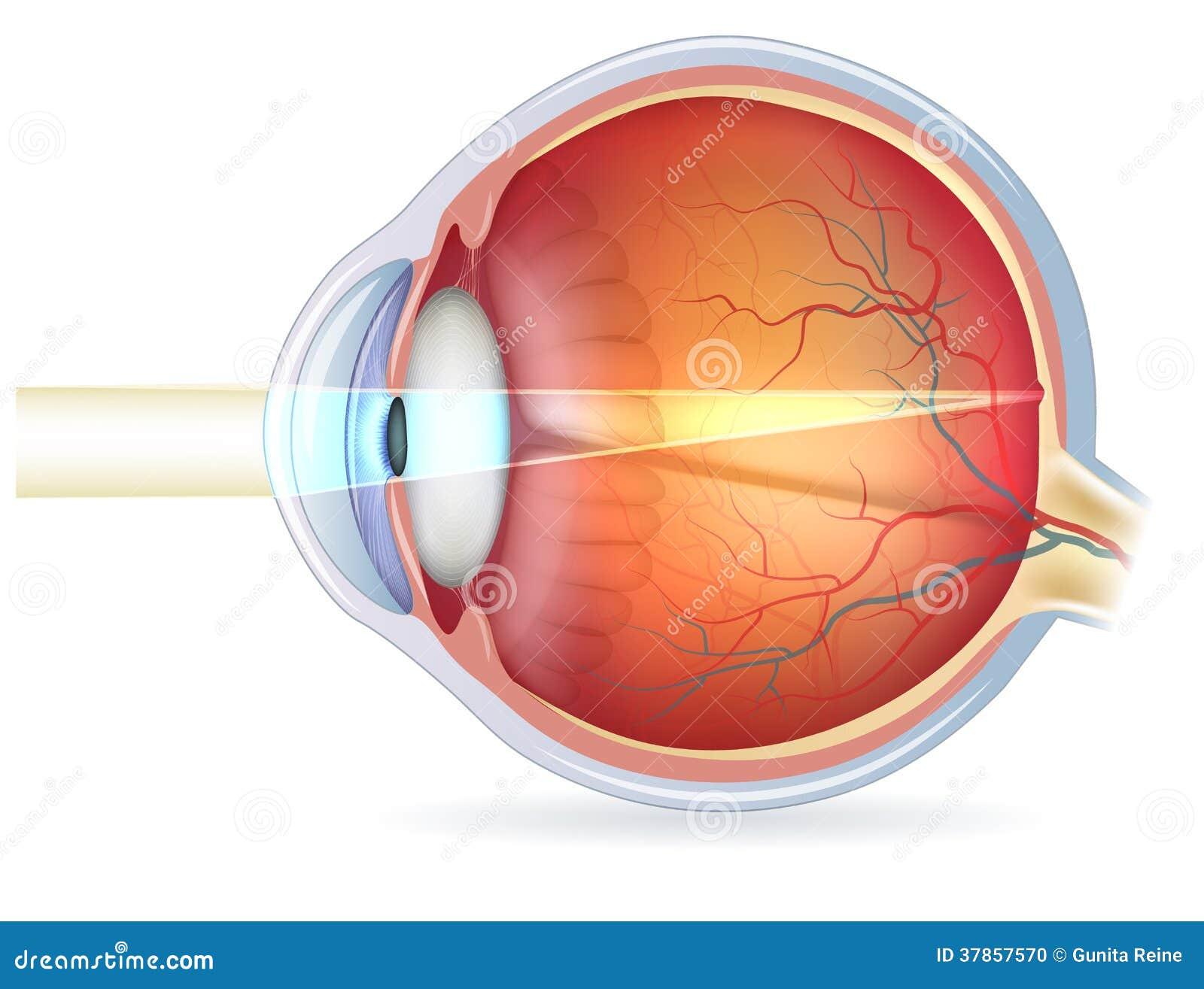 Querschnitt Des Menschlichen Auges, Normale Vision Vektor Abbildung ...