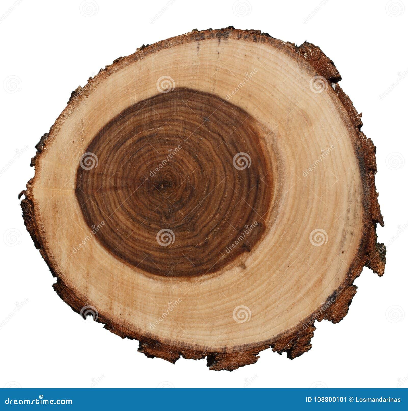 Querschnitt des Trauerweidebaumstammes lokalisiert auf weißem Hintergrund
