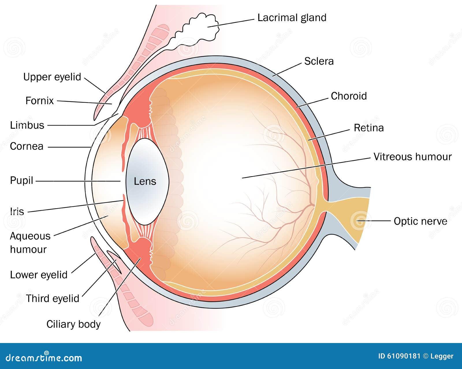 Querschnitt durch das Auge vektor abbildung. Illustration von ...