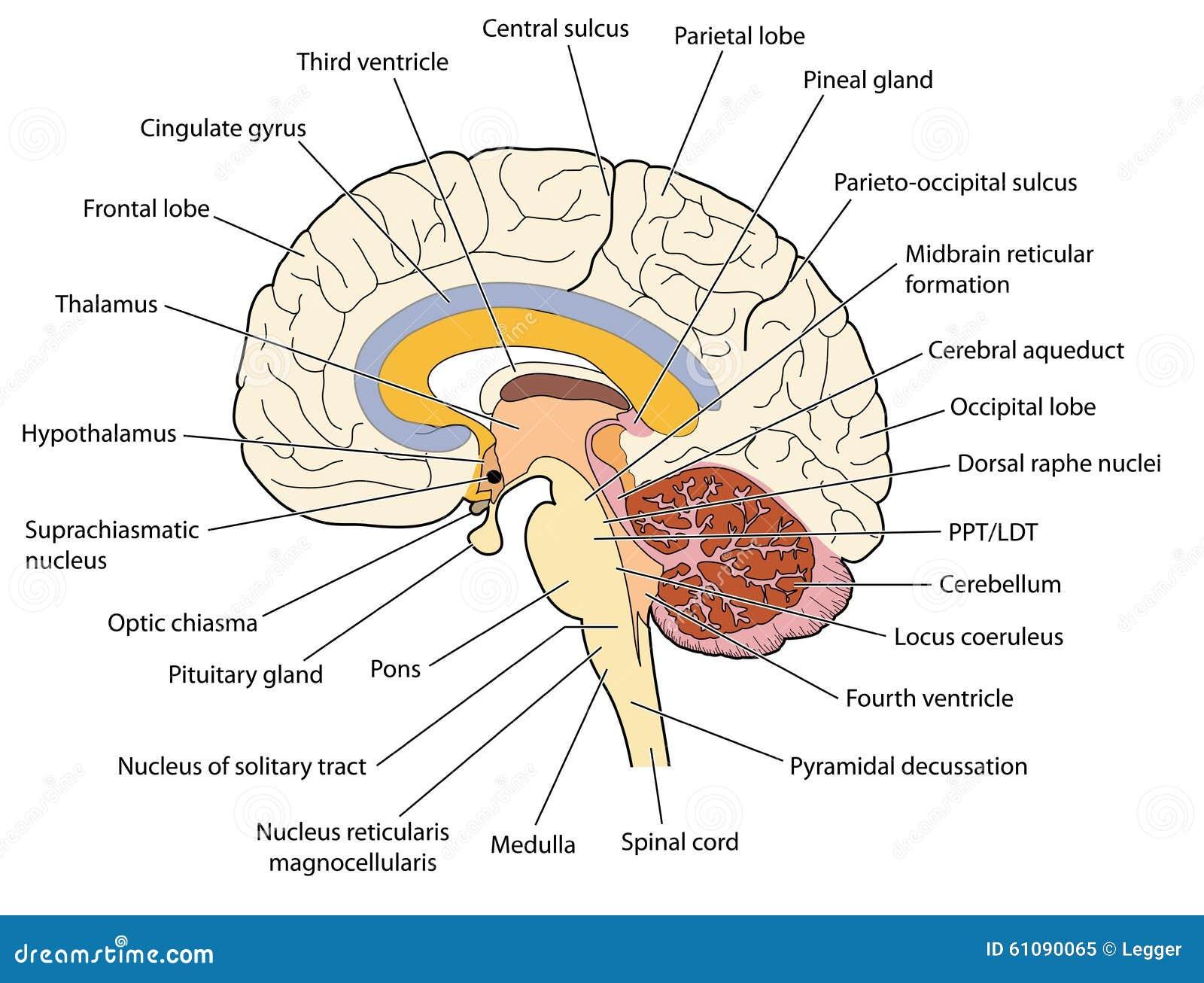 Querschnitt Durch Das Gehirn Vektor Abbildung - Illustration von ...