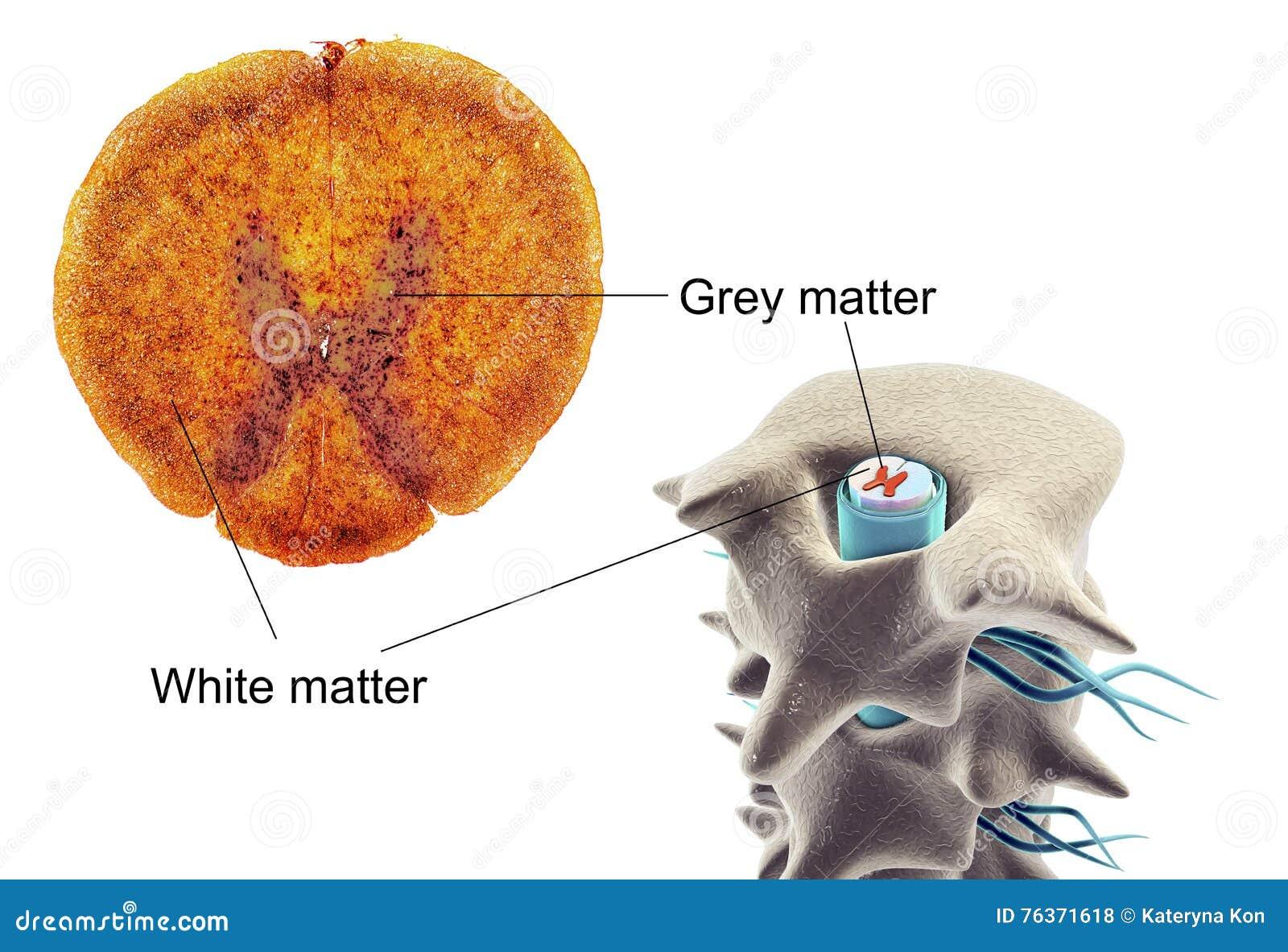 Querschnitt Eines Rückenmarks Stockfoto - Bild von histologisch ...
