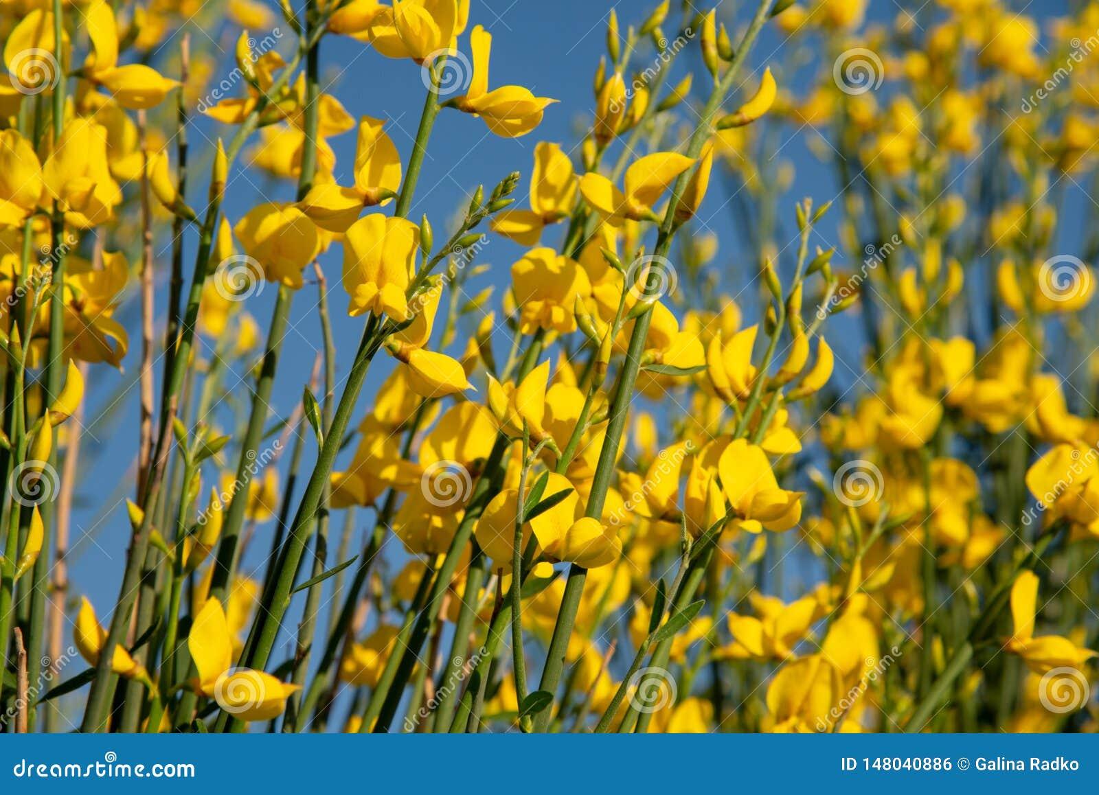 Questi sono fiori gialli della ginestra selvatica Fondo