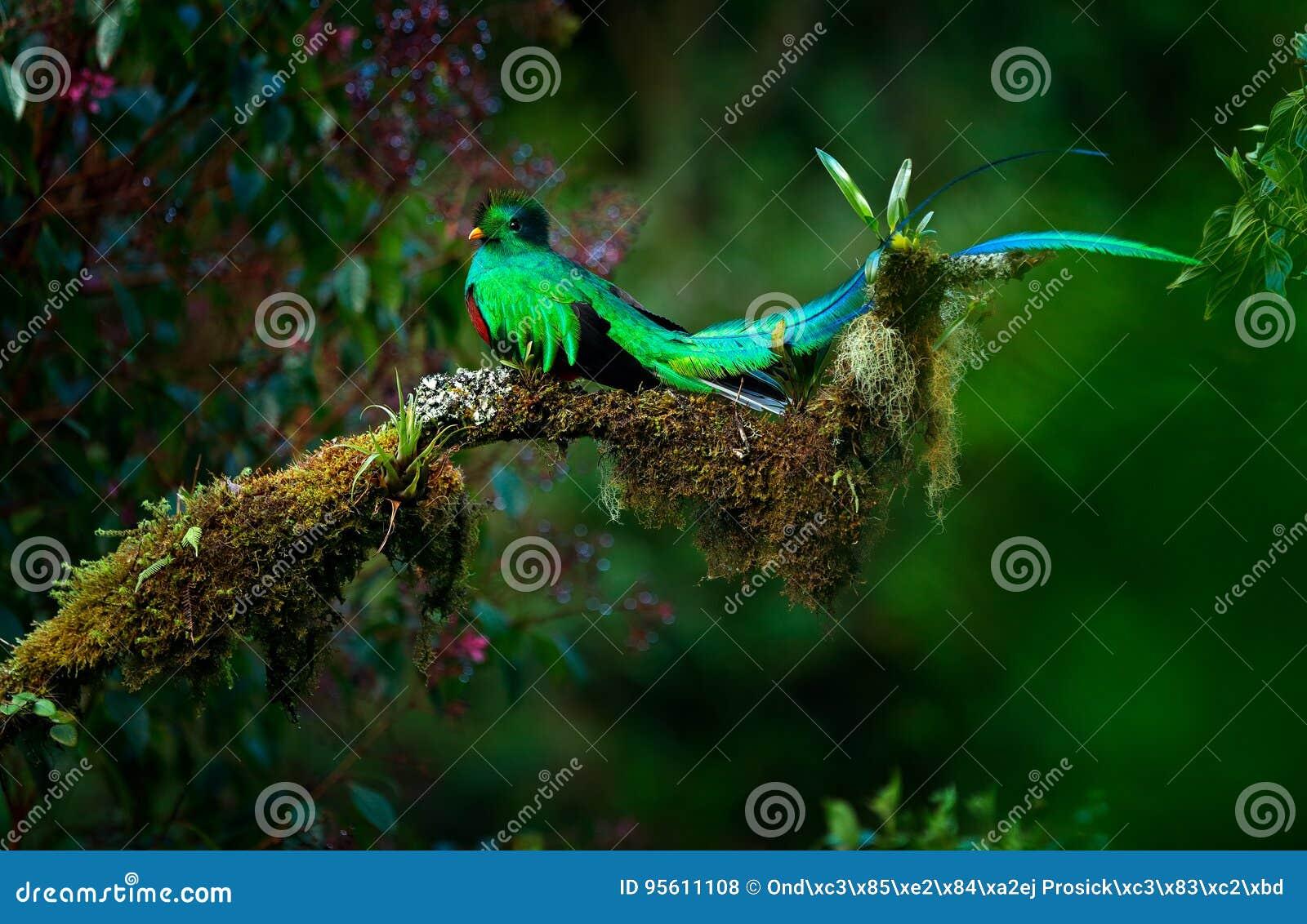 Quetzal resplandeciente, mocinno de Pharomachrus, pájaro verde sagrado magnífico de Savegre en Panamá Animal mágico raro en tro d