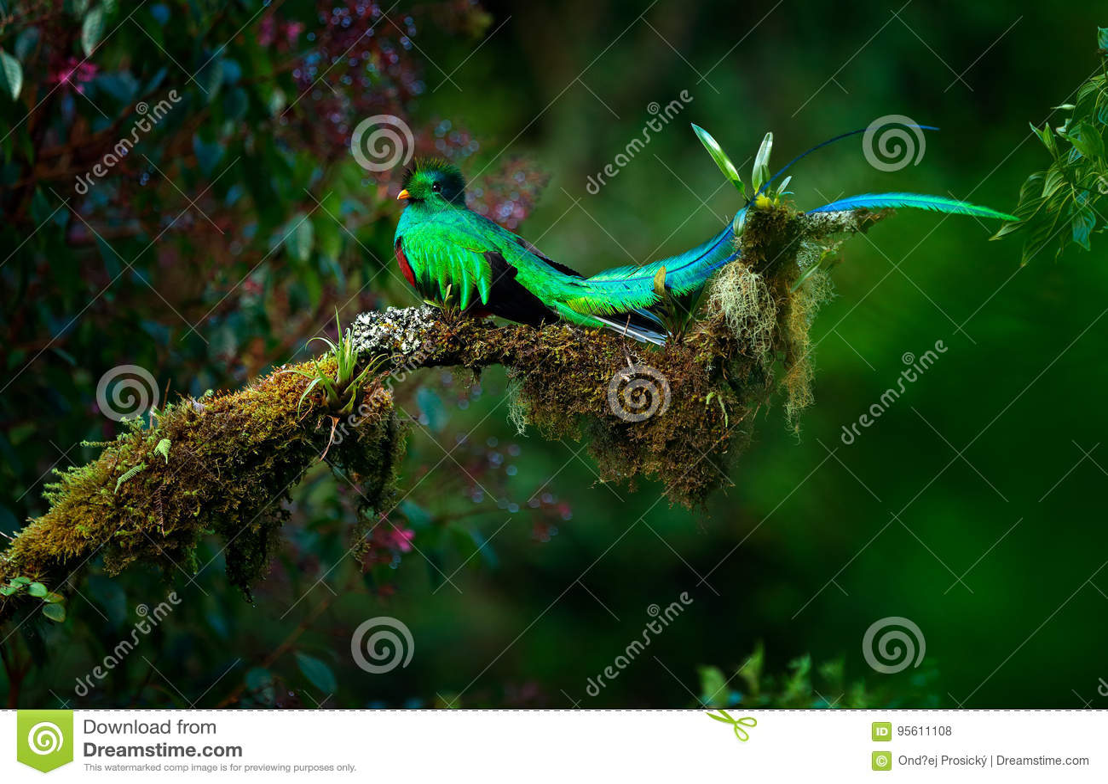 Quetzal resplendissant, mocinno de Pharomachrus, oiseau vert sacré magnifique de Savegre au Panama Animal magique rare dans le tr