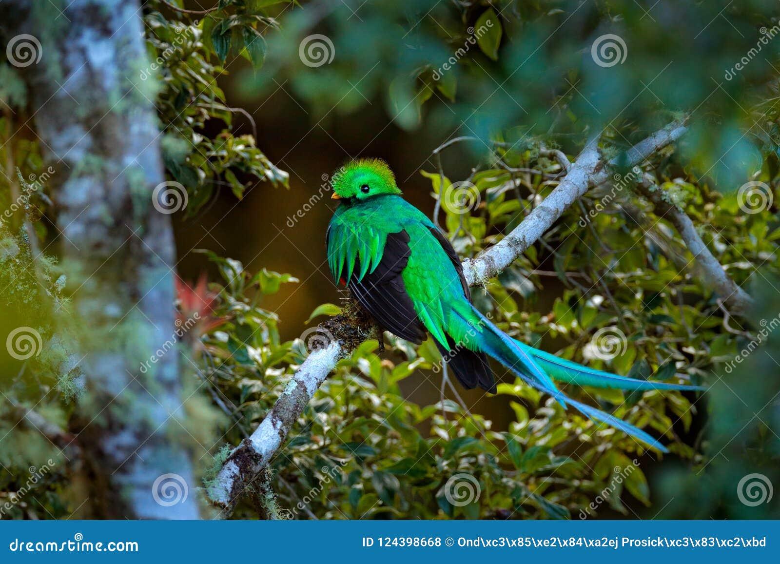 Quetzal resplendissant, Tapanti NP en Costa Rica, avec la forêt verte à l arrière-plan Oiseau vert et rouge sacré magnifique Port