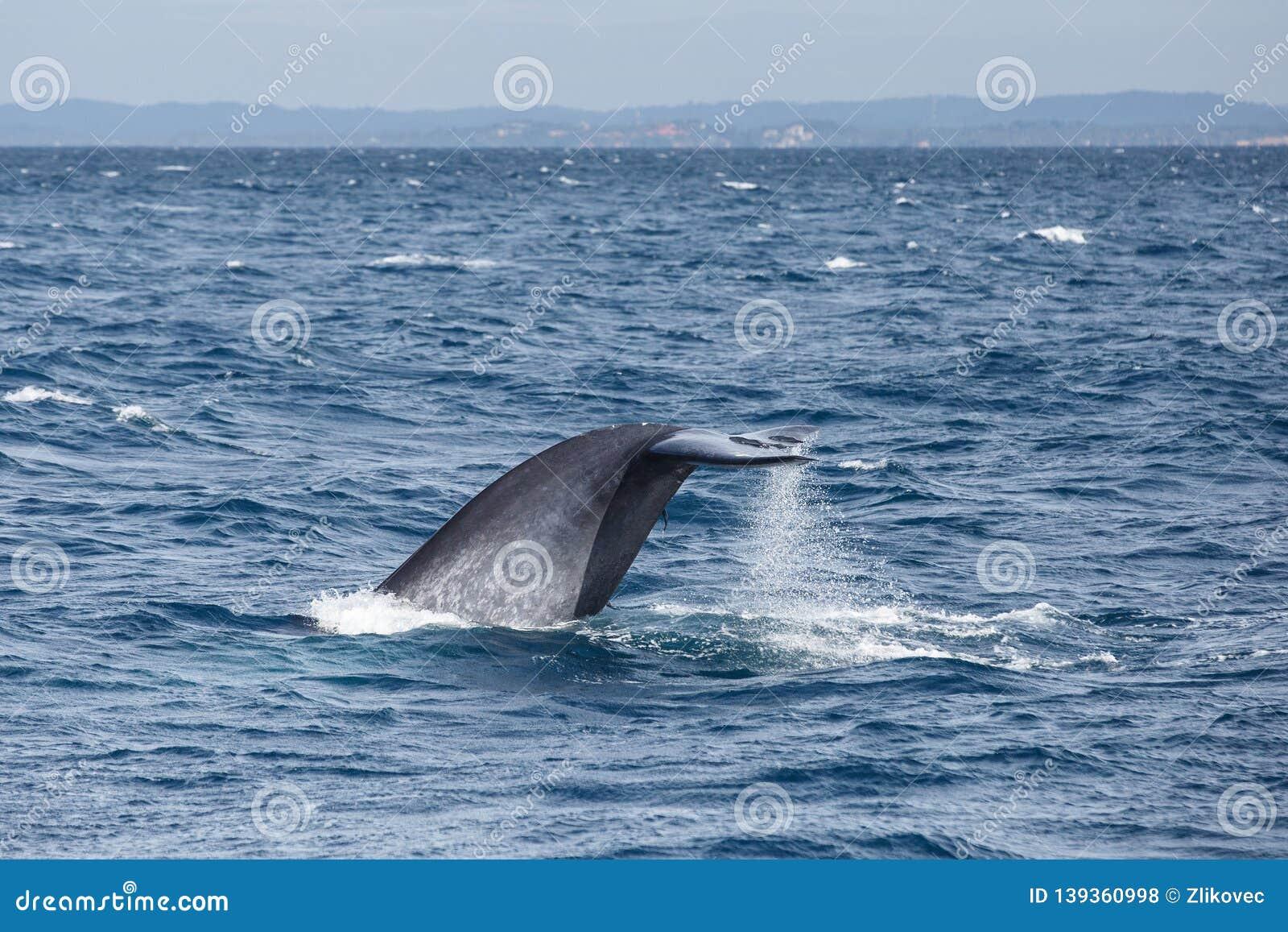 Queue de grande baleine bleue