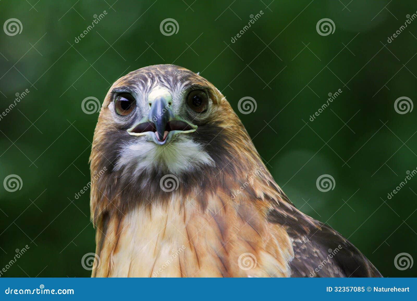 Queue rouge Hawk Stare vers le bas