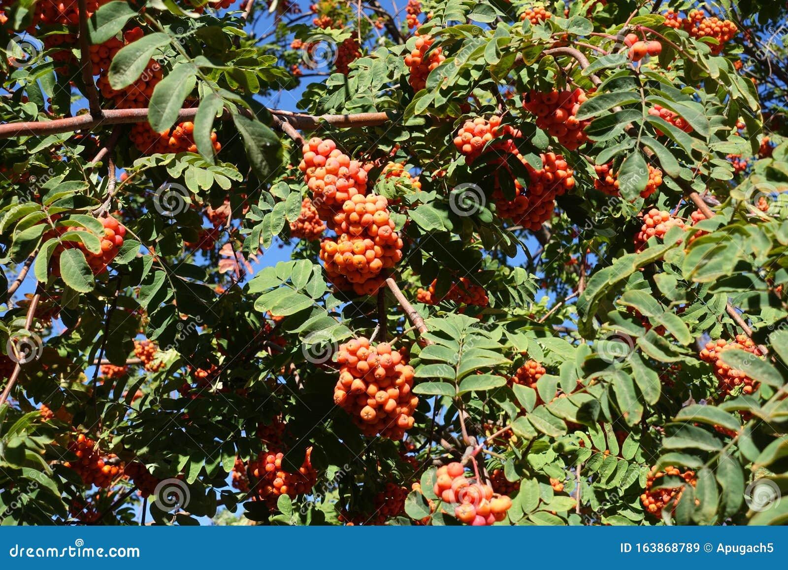 Quickbeam Tree With Orange Berries In October Stock Image Image