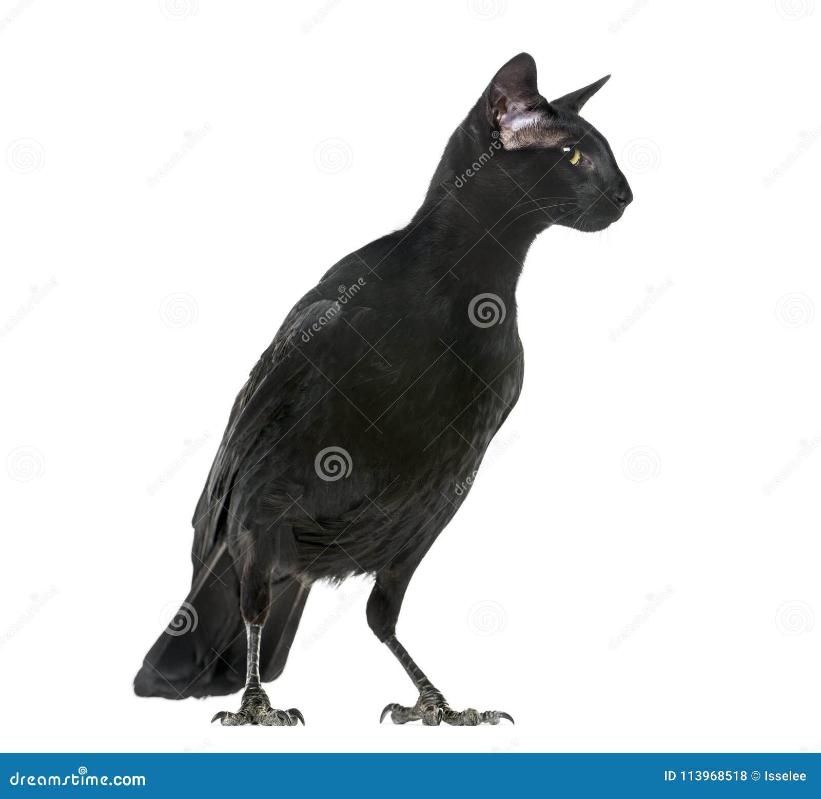 Quimera con Carrion Crowand una cabeza del gato oriental de Shorthair encendido