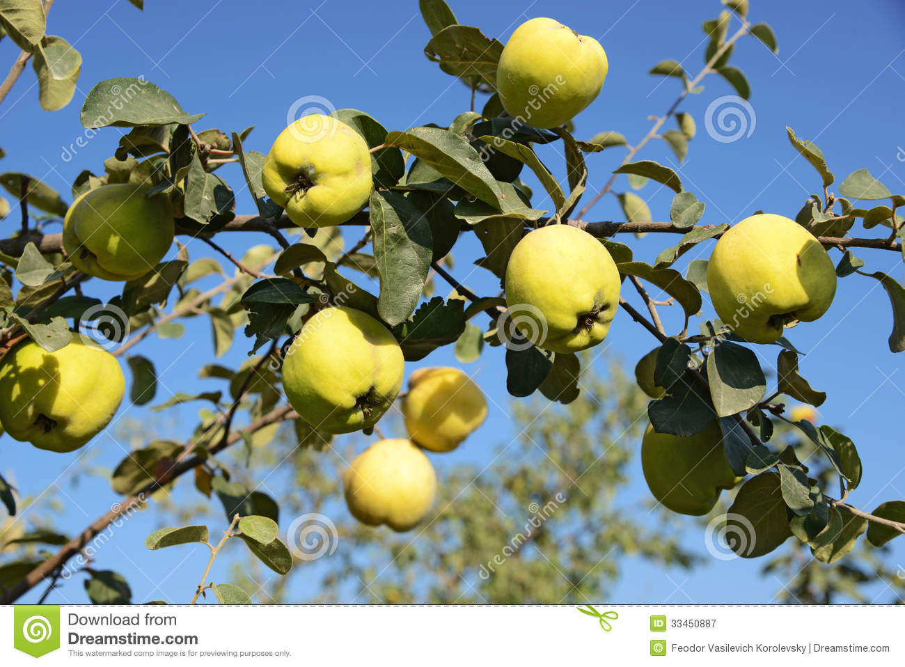 Quince Images Free Download