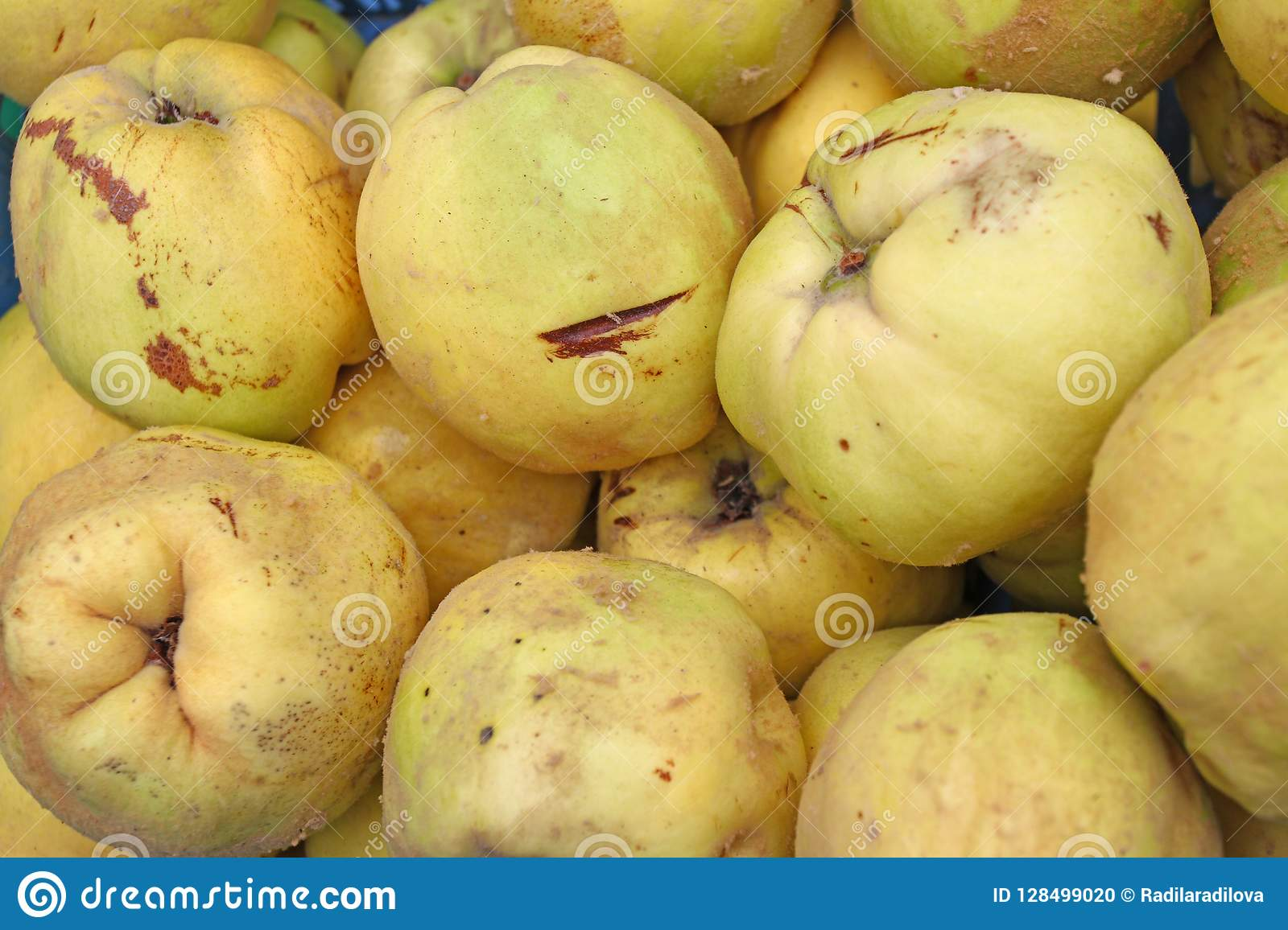 Quince. Fresh organic quince. Quince fruit background texture. Yellow quinces wallpaper. Healthy