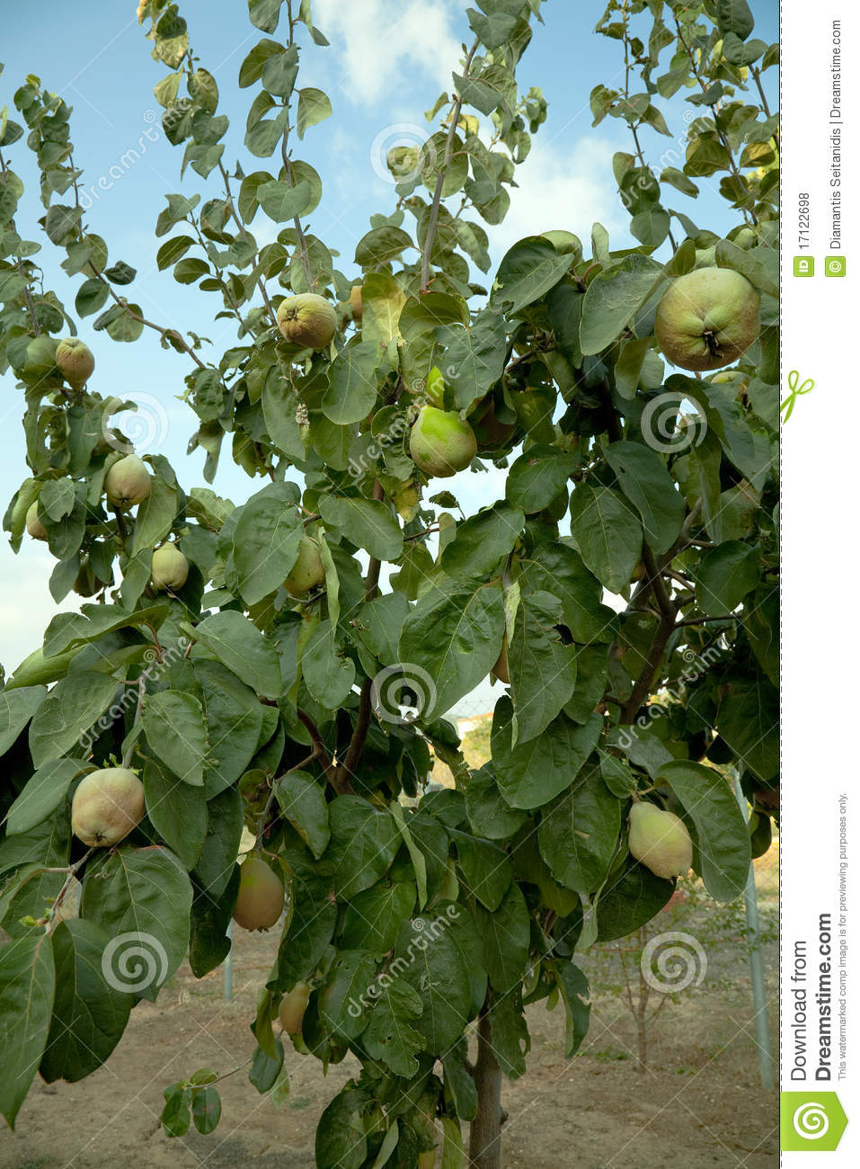 Quince Tree Royalty Free Stock Photos Image 17122698