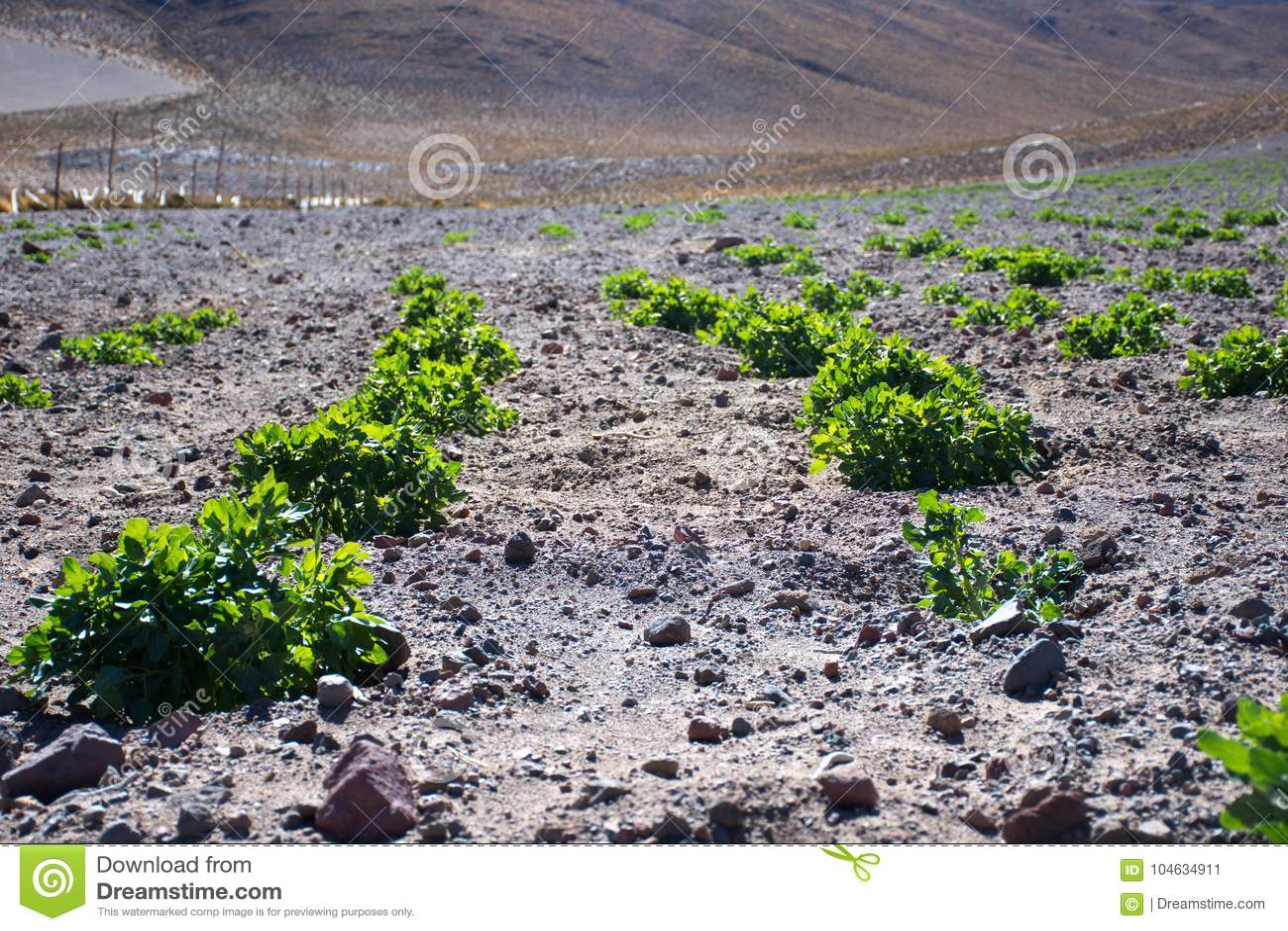 Download Quinoa, De Landbouw, Boerderij Stock Afbeelding - Afbeelding bestaande uit plantaardig, platteland: 104634911