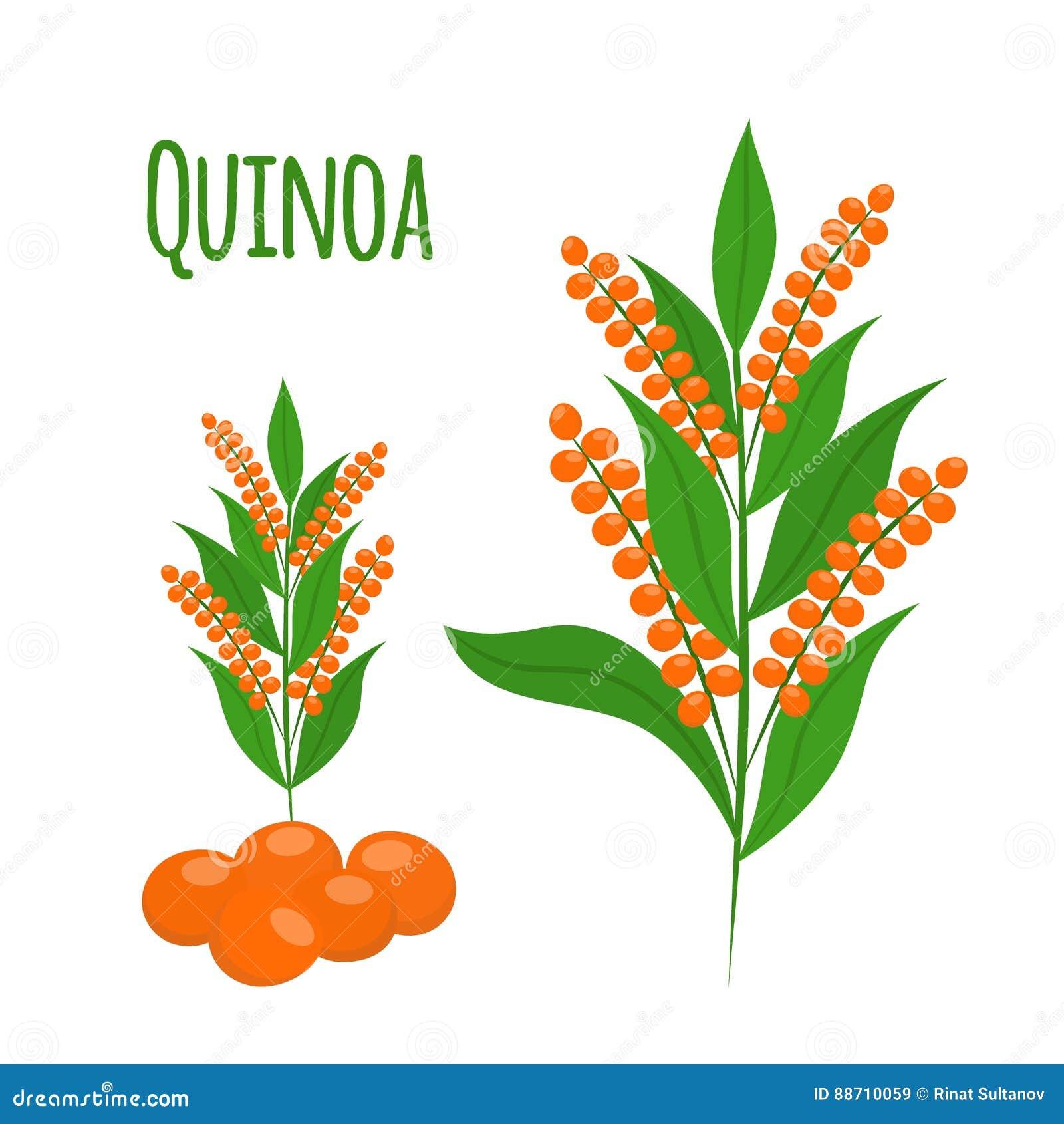 Quinoa reeks Zaden, gezond quinoa vegetarisch voedsel Beeldverhaal vlakke stijl
