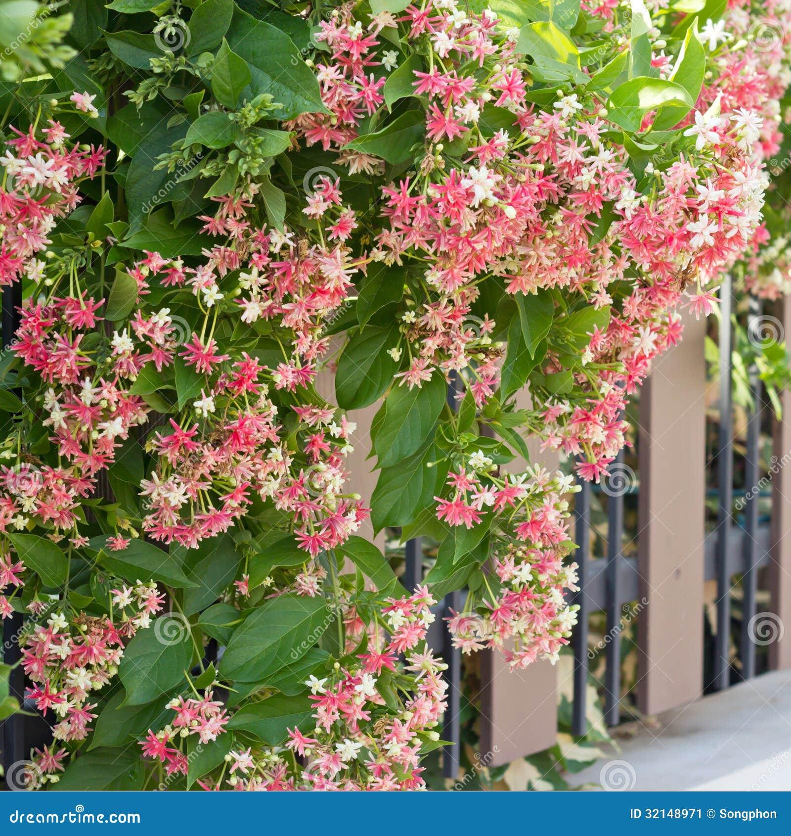 Quisqualis Indica Stock Image - Image: 32148971