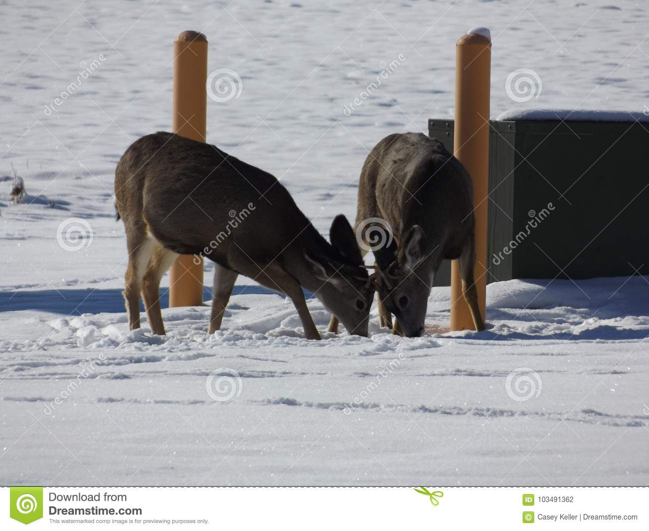 A Couple Of Young Bucks Butting Heads The Other Day Up In Helena Montana