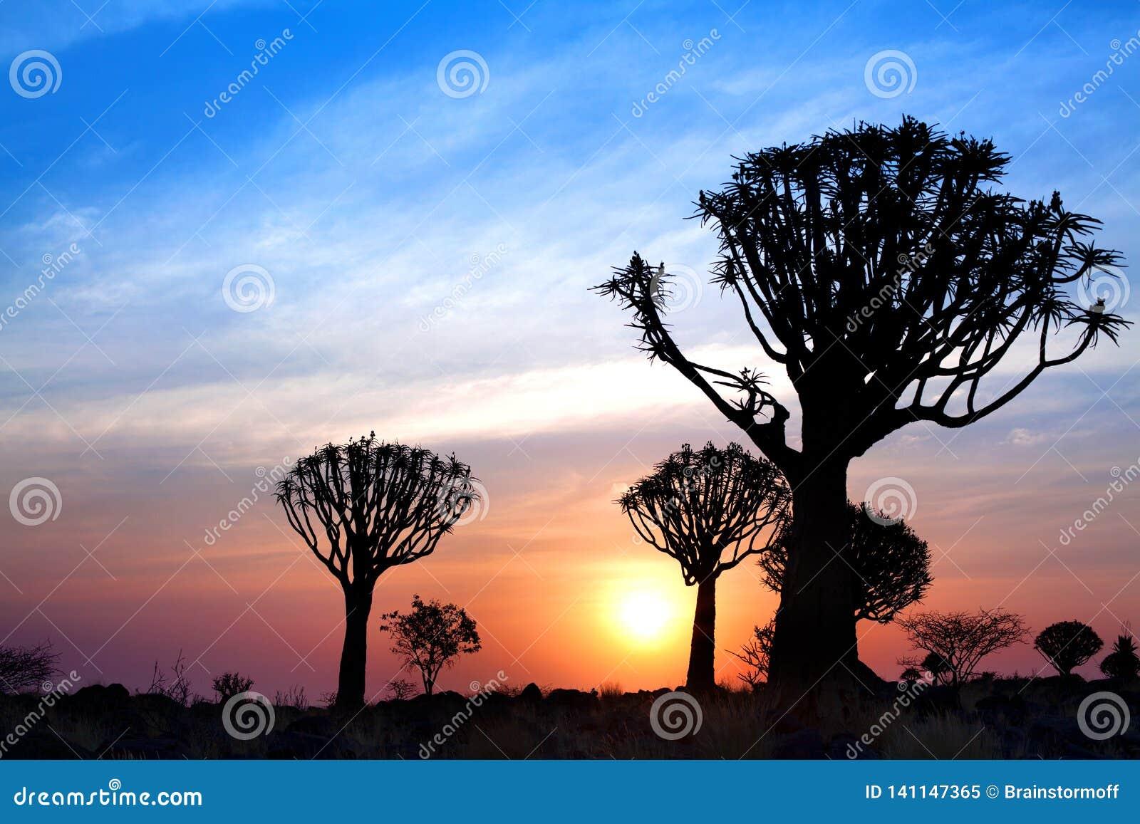 Quiver bomensilhouetten op de heldere achtergrond van de zonsonderganghemel, prachtig Afrikaans landschap in Keetmanshoop, Namibi