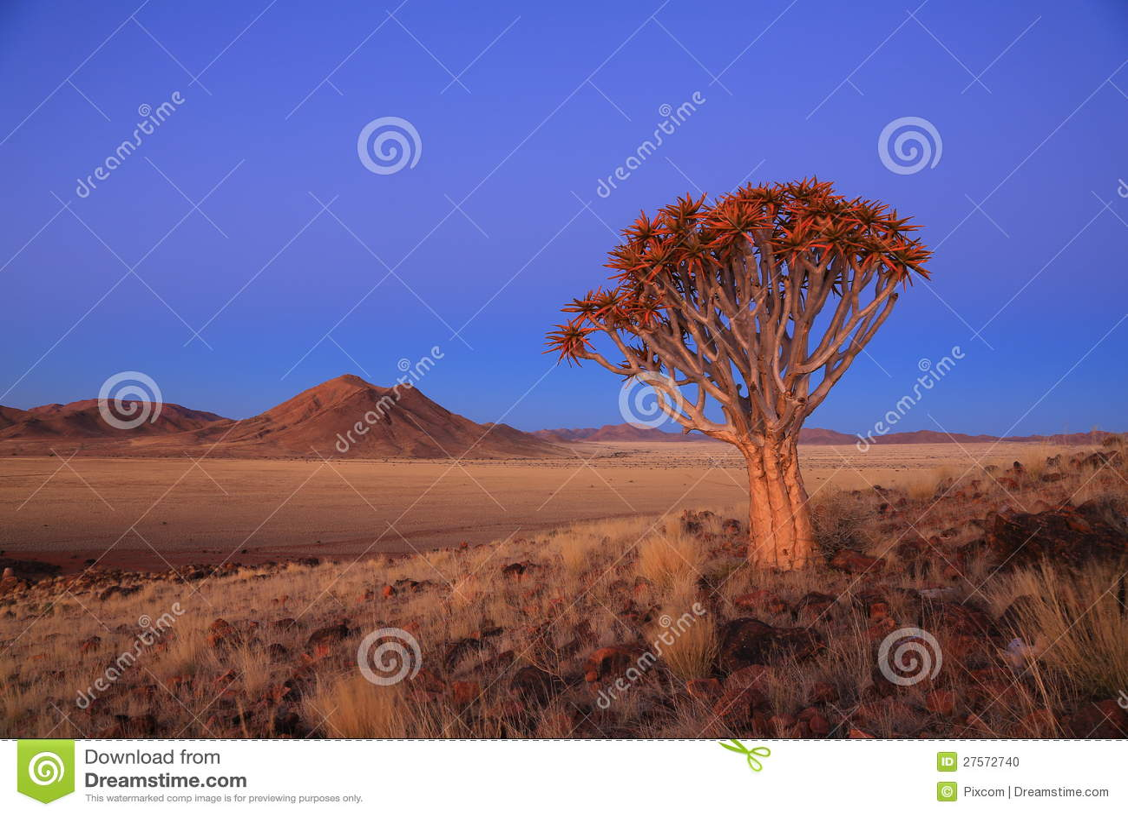 Namibia - Quiver Tree
