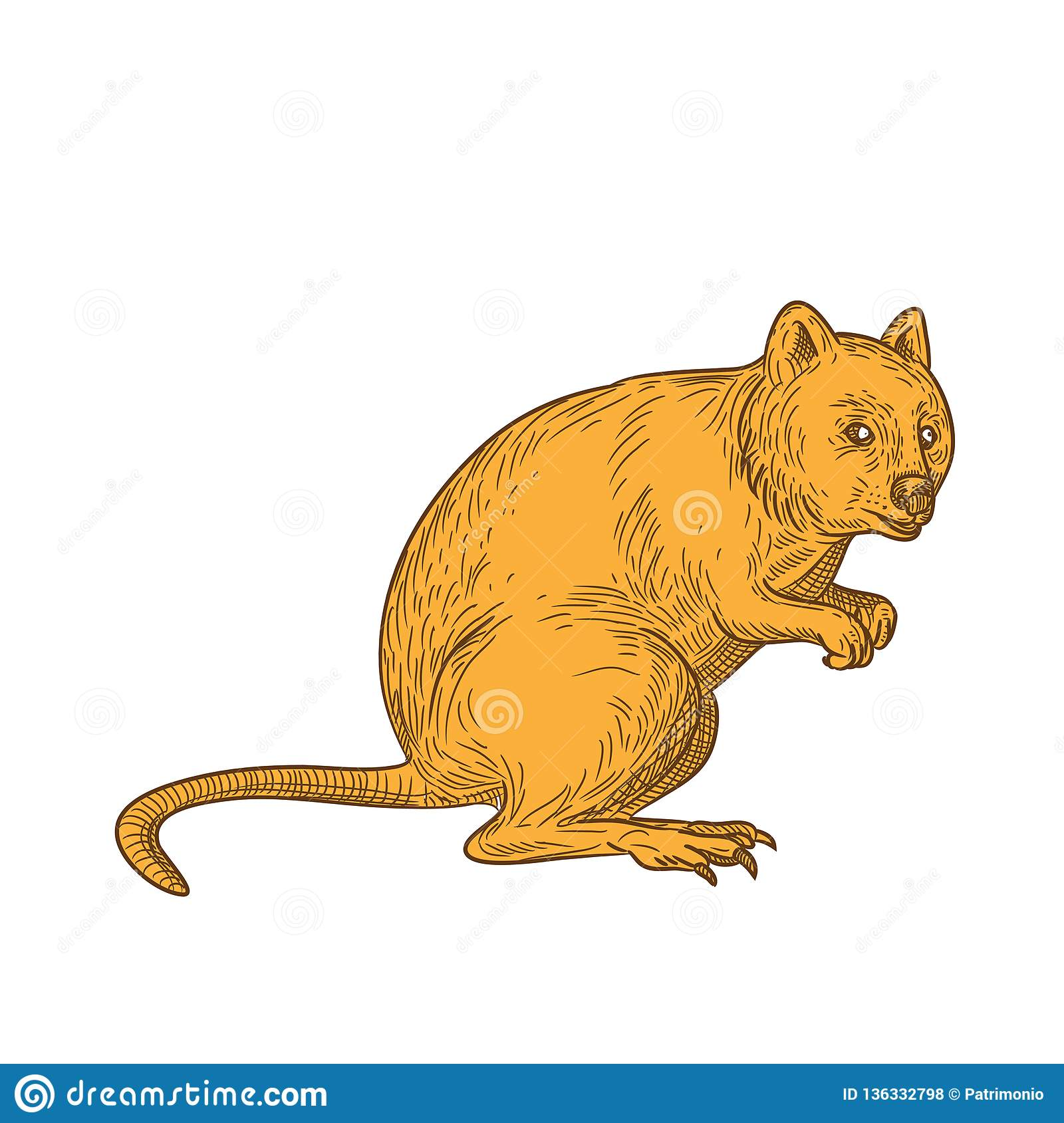 Quokka Drawing Color Stock Vector. Illustration Of Hand