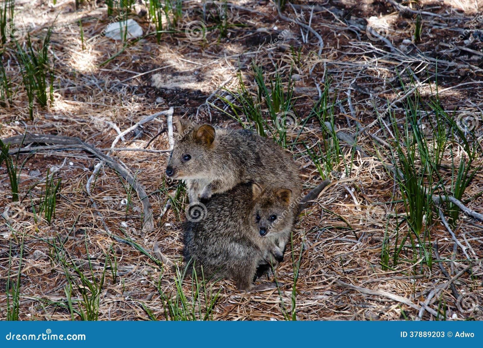 Quokkas - Australië