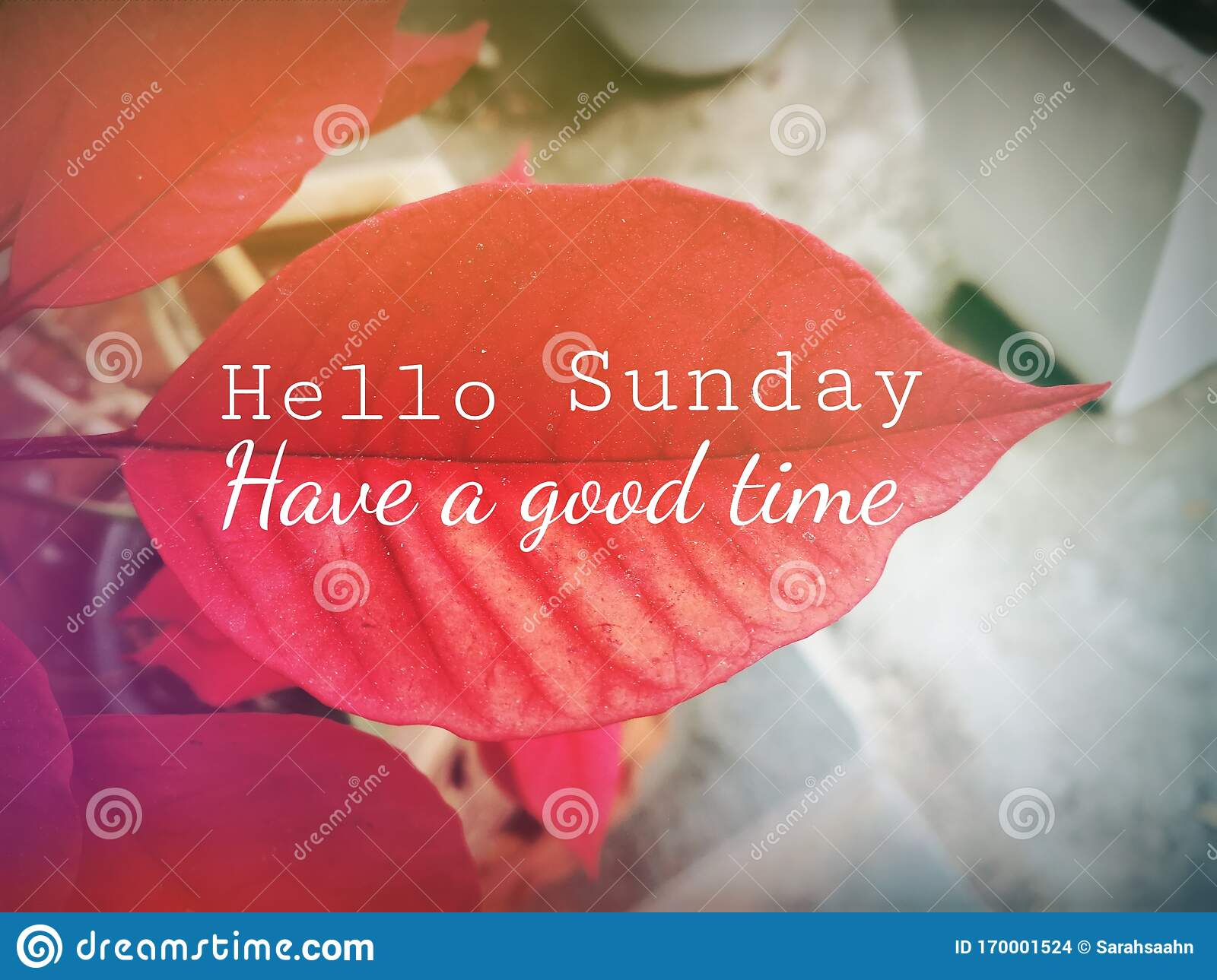 Quote on Red Leaf Saying Hello Sunday, Have a Good Time. Stock ...