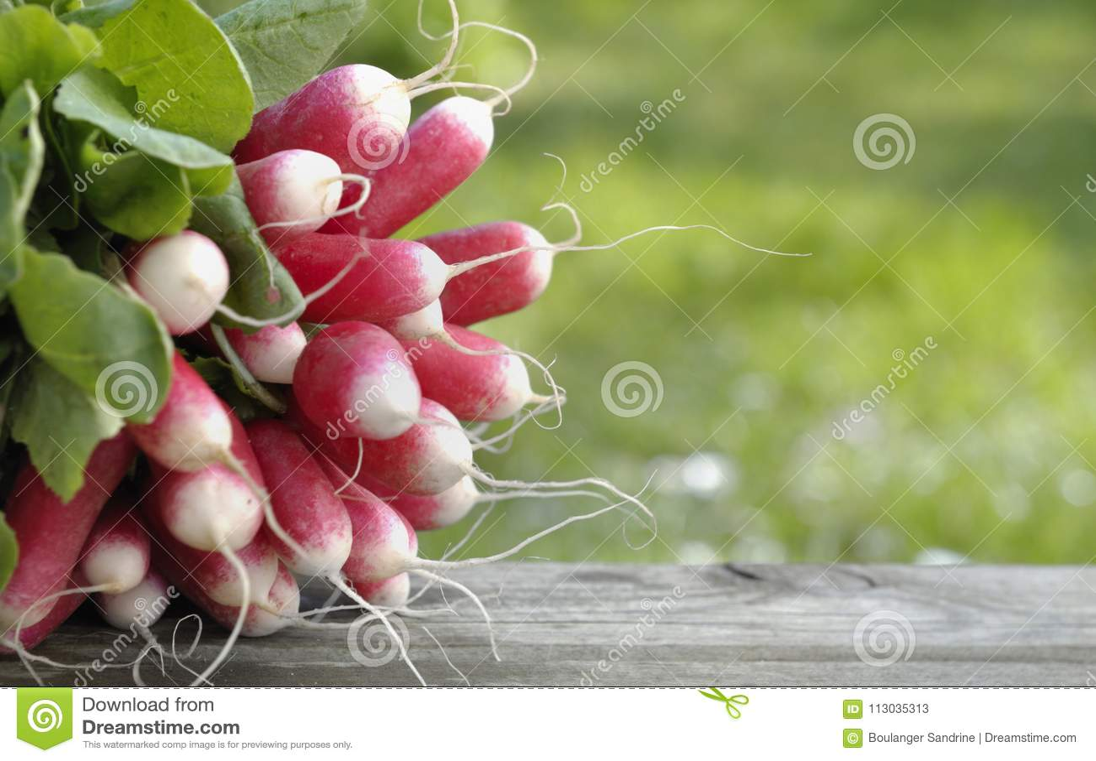 Rábano fresco y rosado en jardín