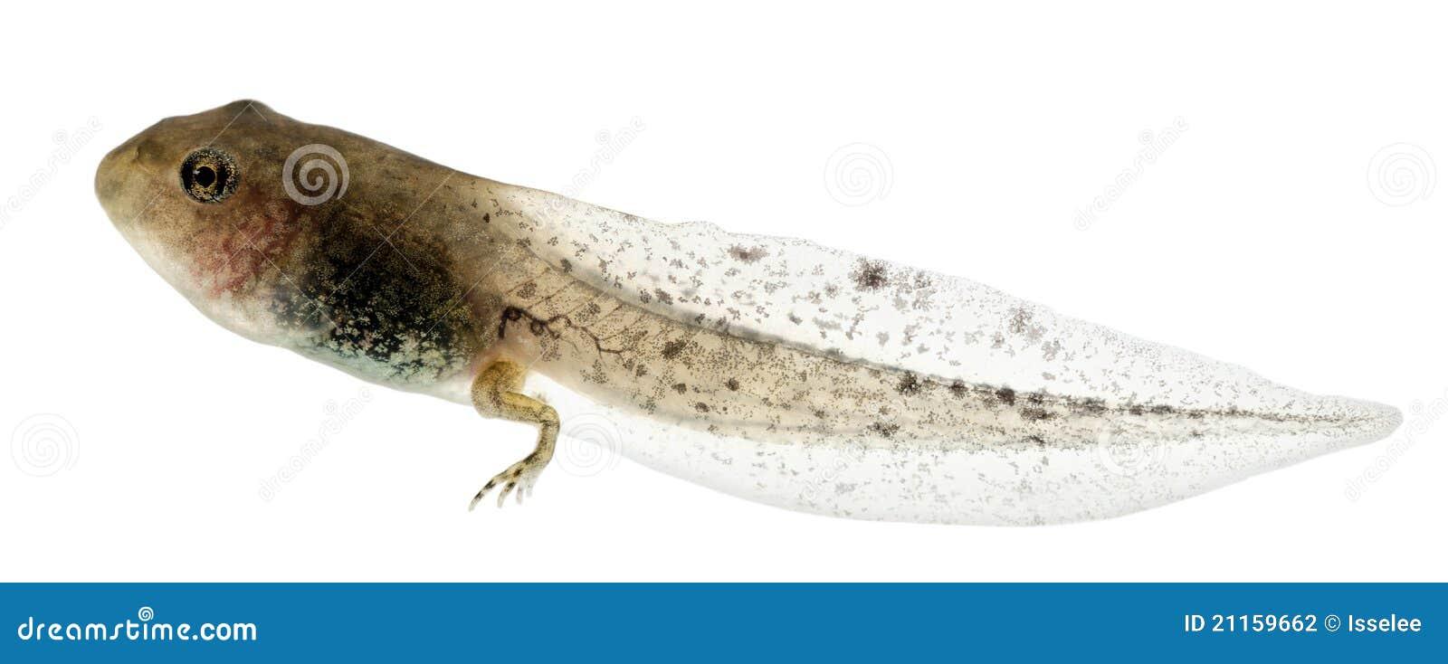 Râ comum, tadpole do temporaria de Rana