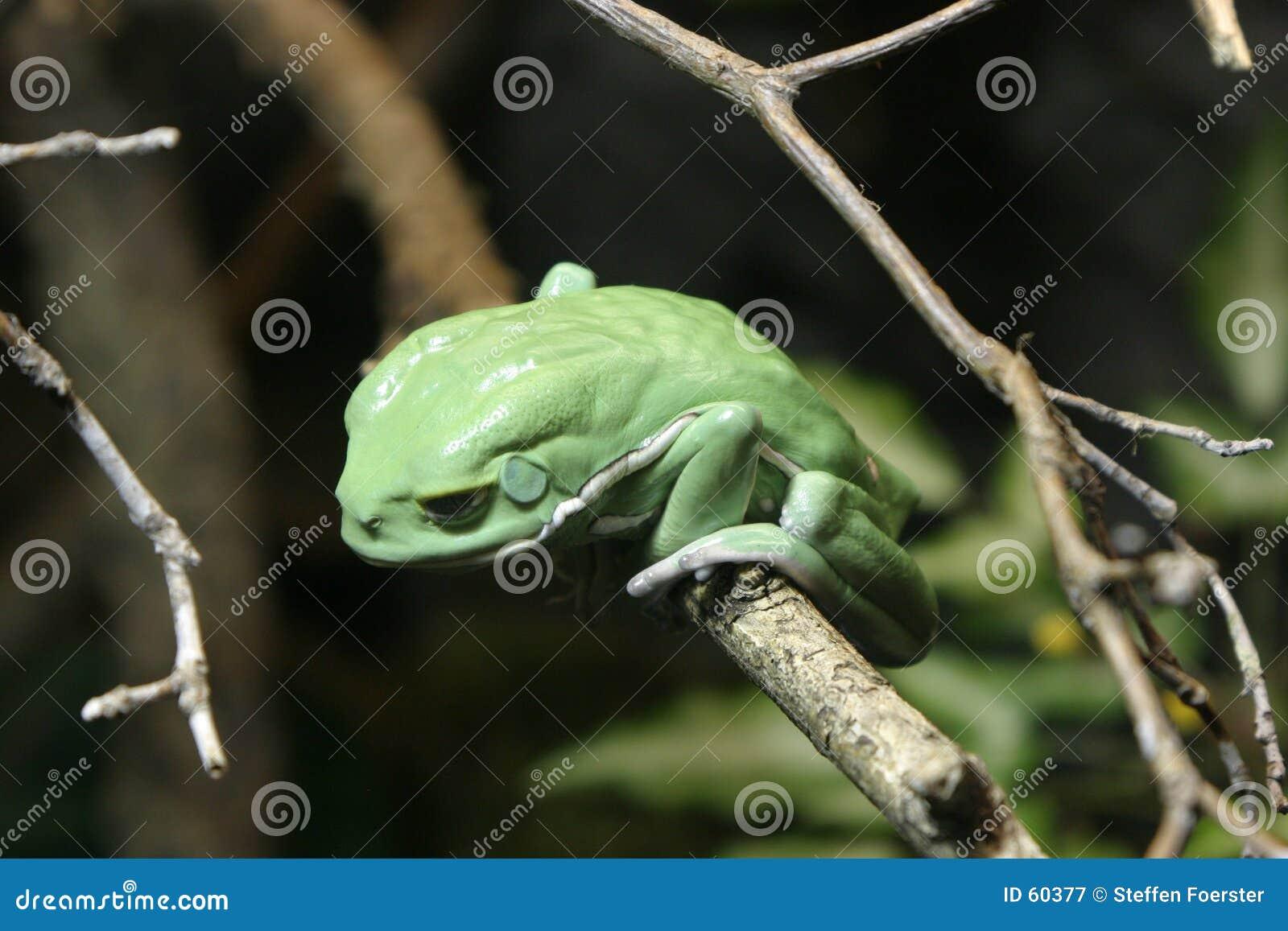 Râ de árvore verde