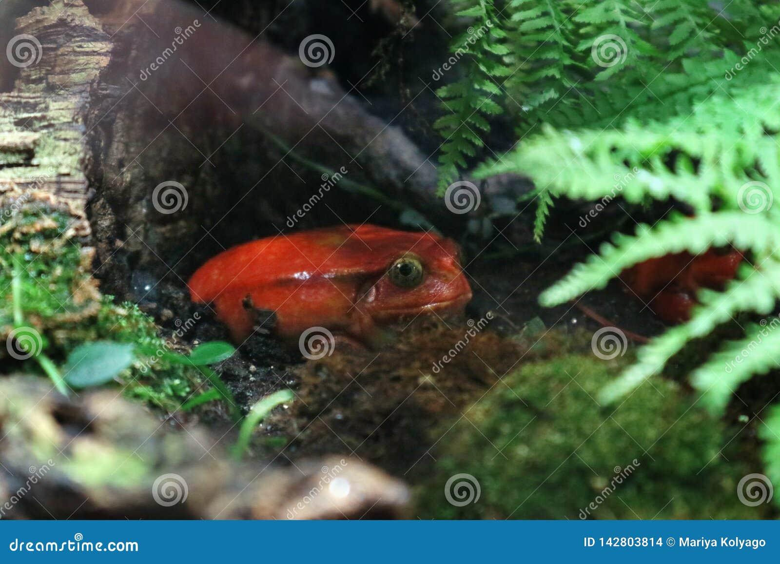 A rã do tomate é venenosa na floresta molhada tropical sob a coloração brilhante da folha
