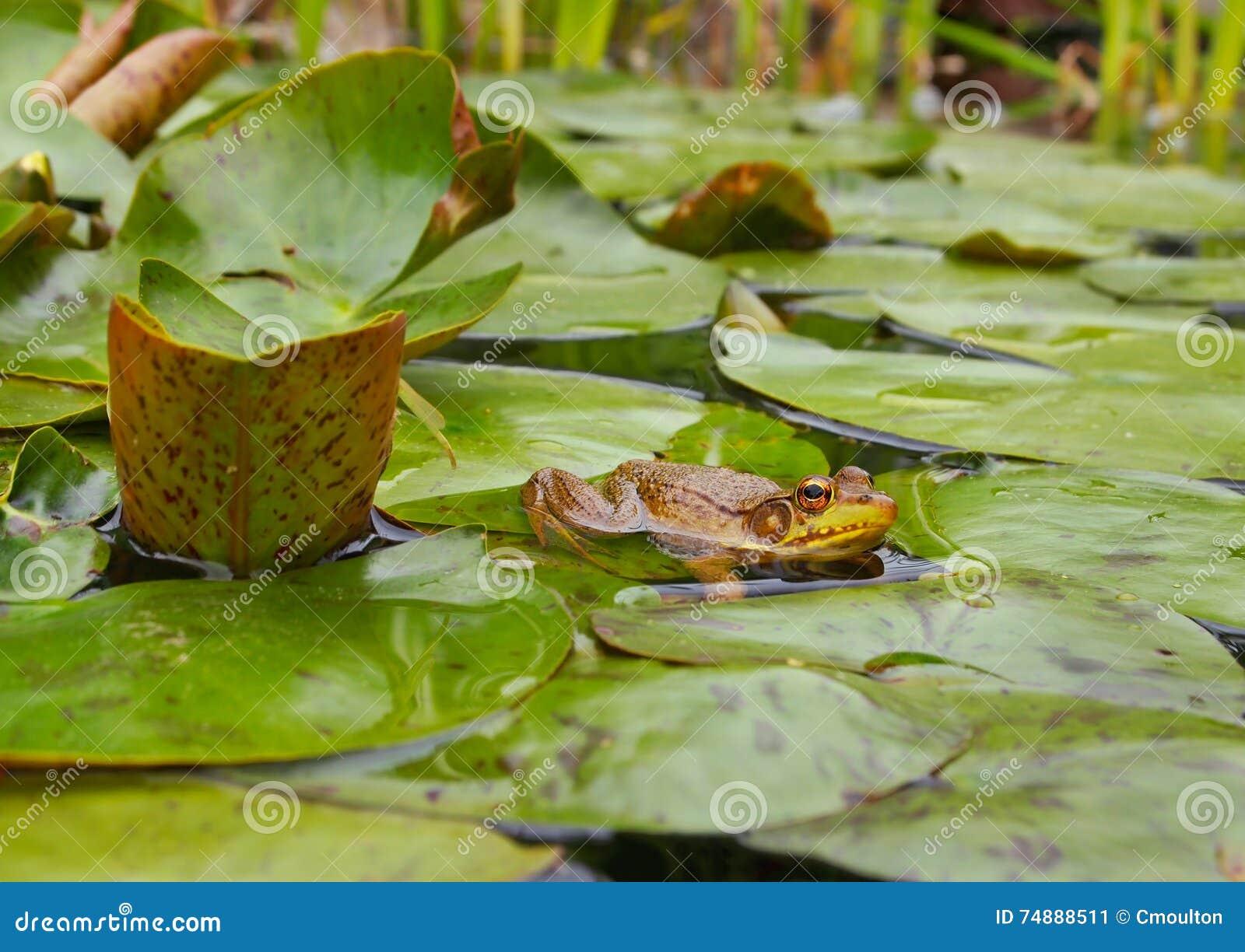 Rã em Lily Pond