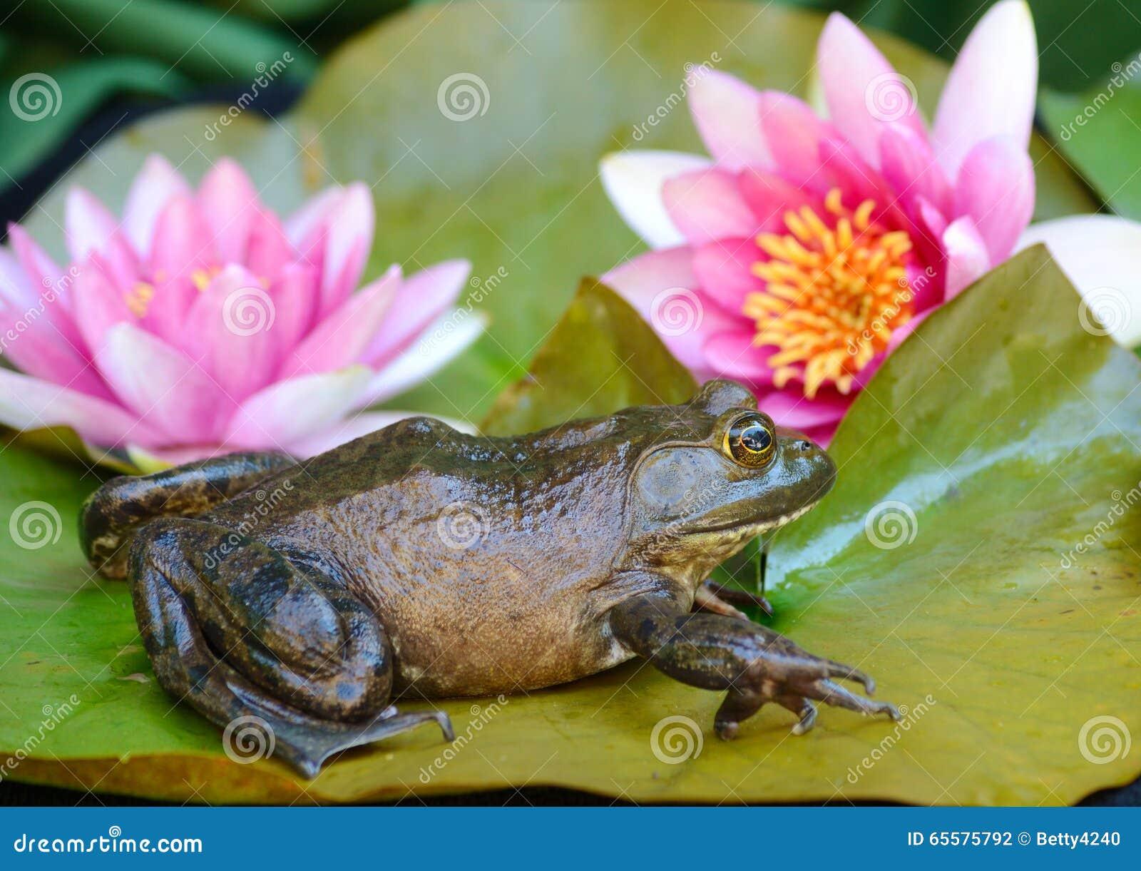 A rã senta-se lilly na almofada entre flores