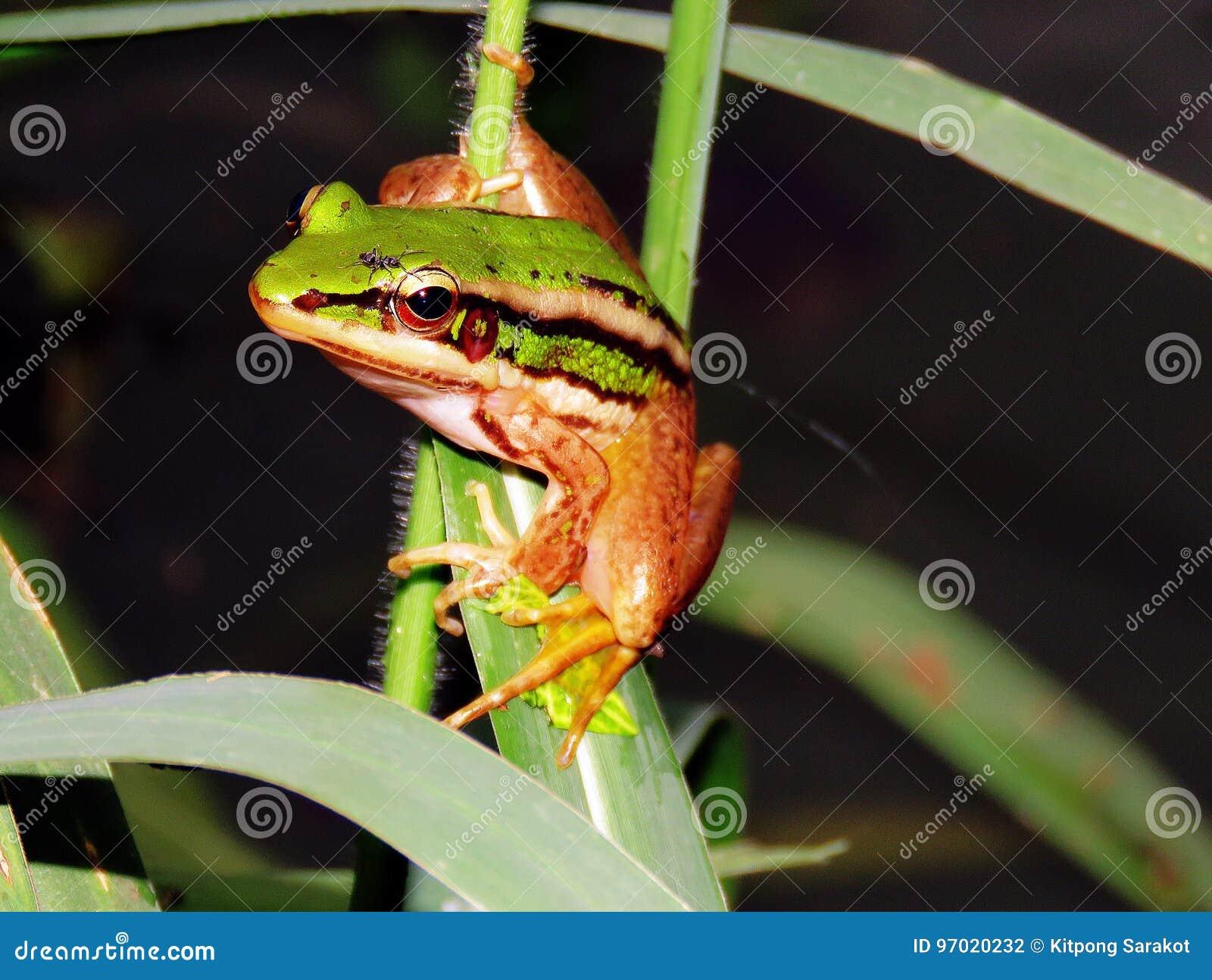 Rã verde