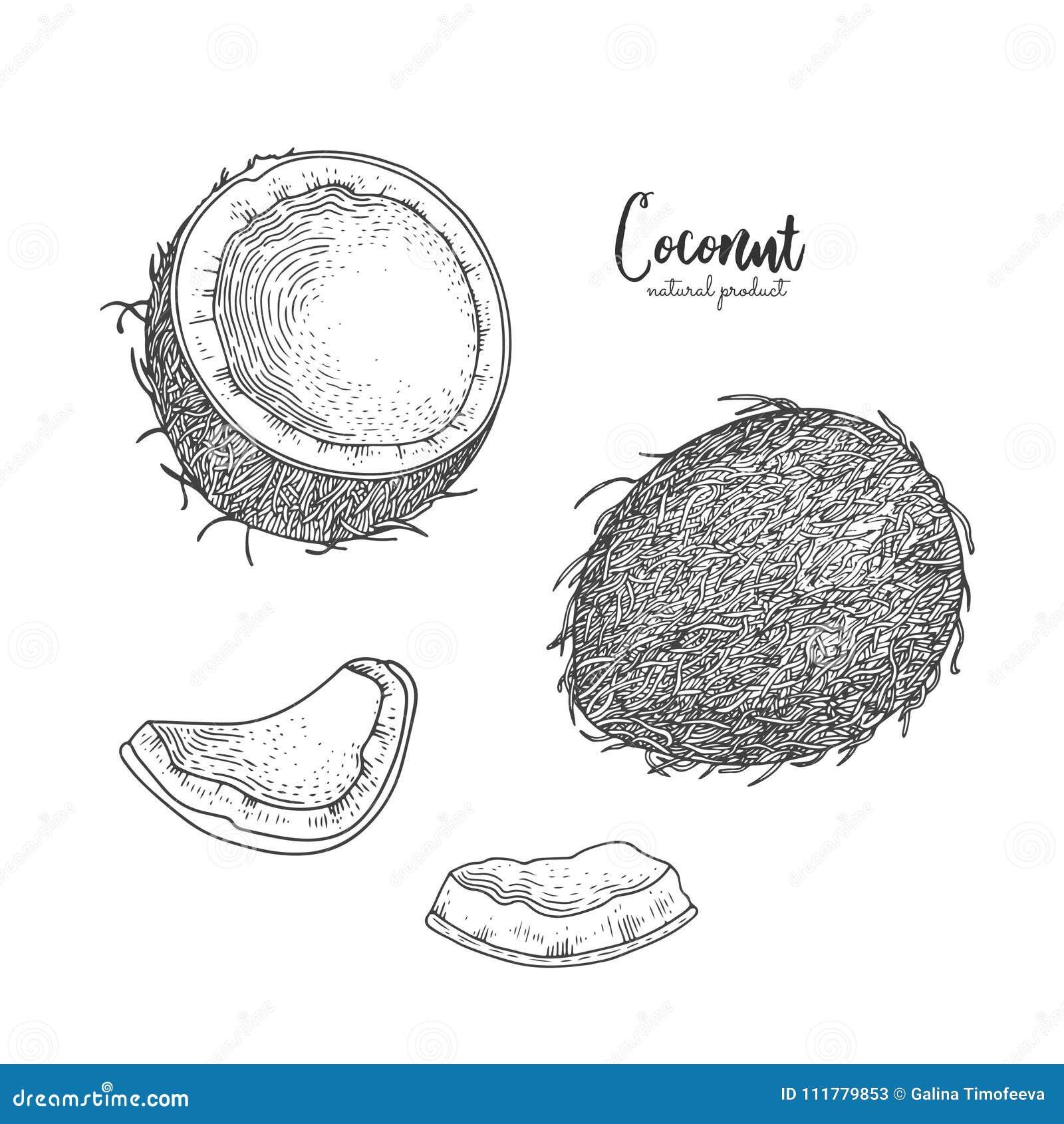 Räcka den utdragna illustrationen av kokosnöten som isoleras på vit bakgrund Inristad konst Tropiska vegetarianobjekt Bruk för