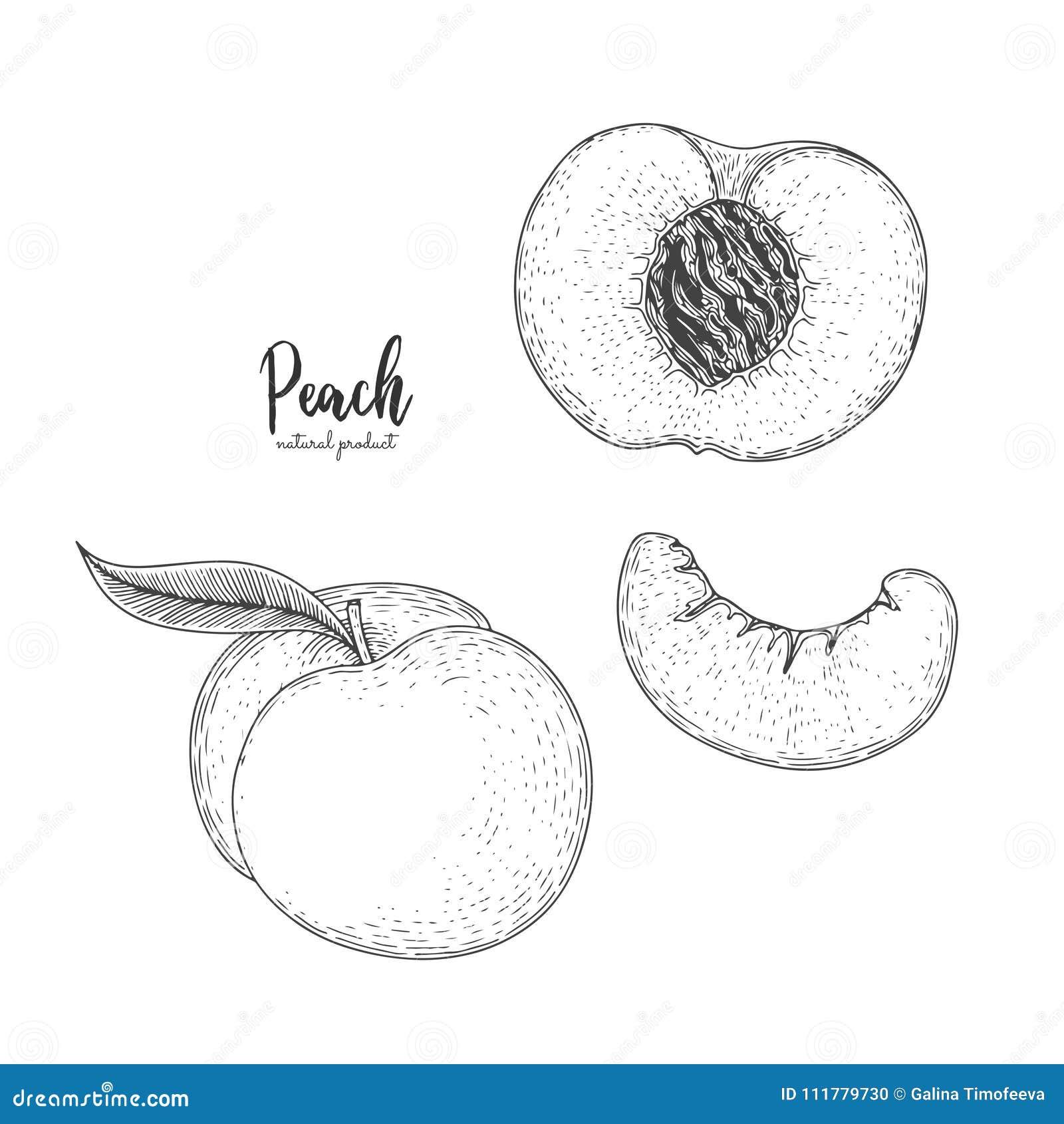 Räcka den utdragna illustrationen av persikan som isoleras på vit bakgrund Frukt inristad stilillustration Detaljerad vegetarisk