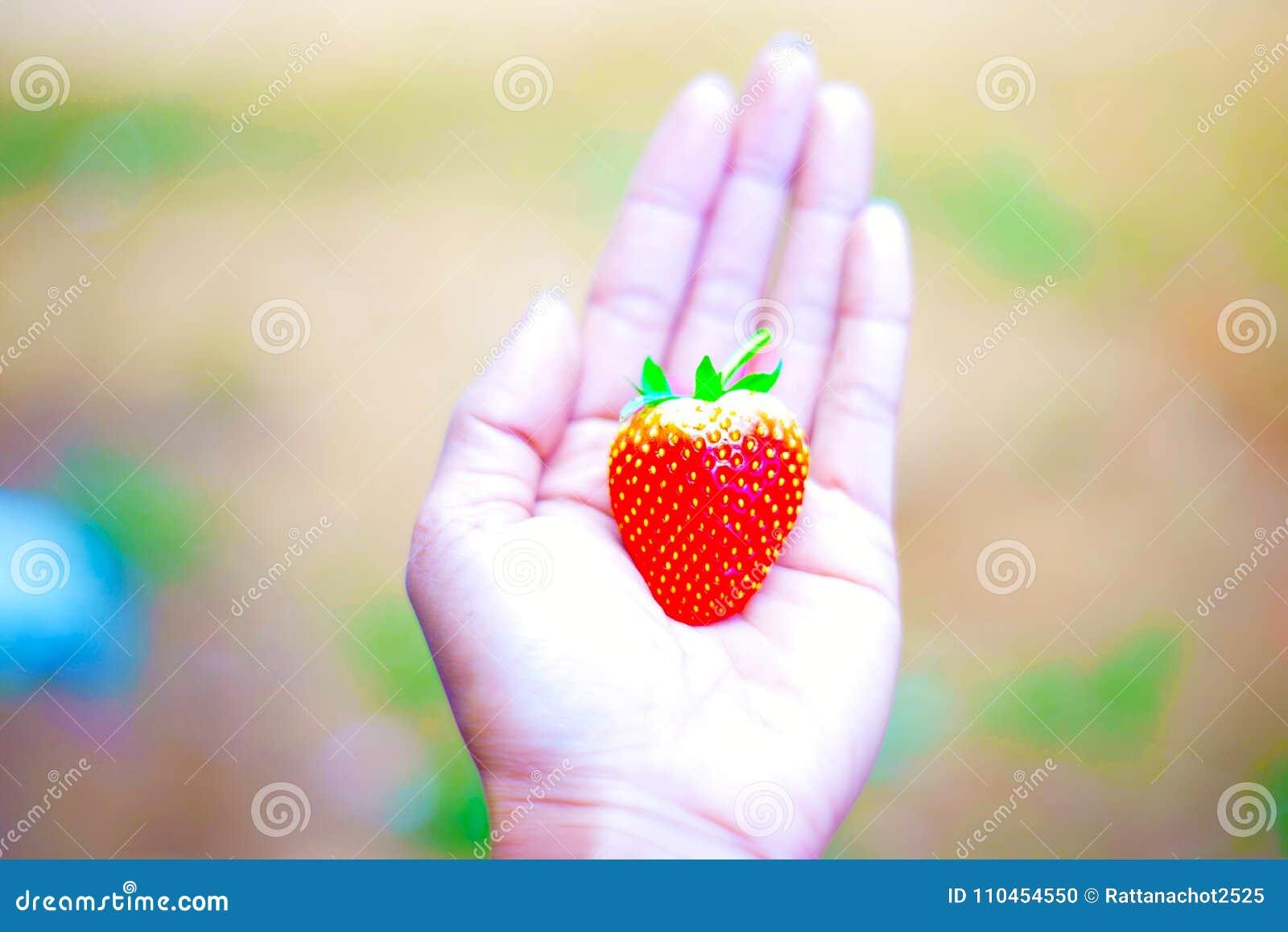 Räcka hållen den nya jordgubben på träd i fruktodlingen, organiska lokalfrukter för experimentprov