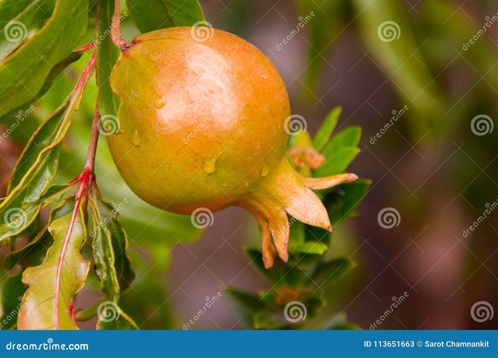 Rå granatäpplefrukt