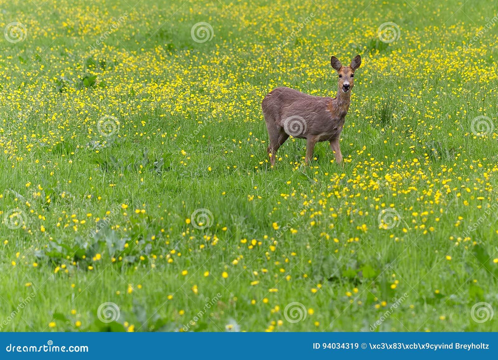 Rådjurskött som omkring går i gräset och eatinen